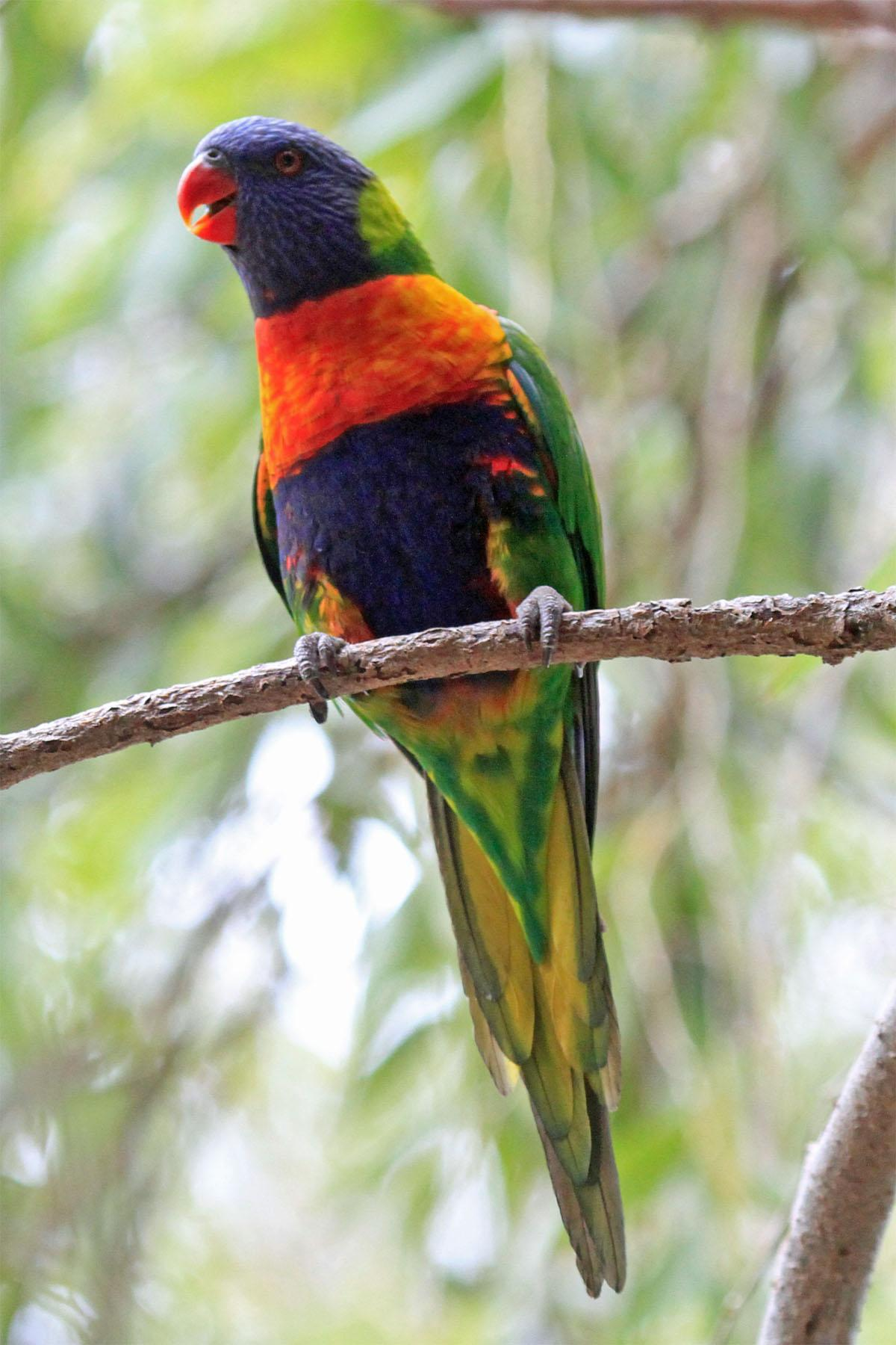 Rainbow lorikeet | New Zealand Birds Online
