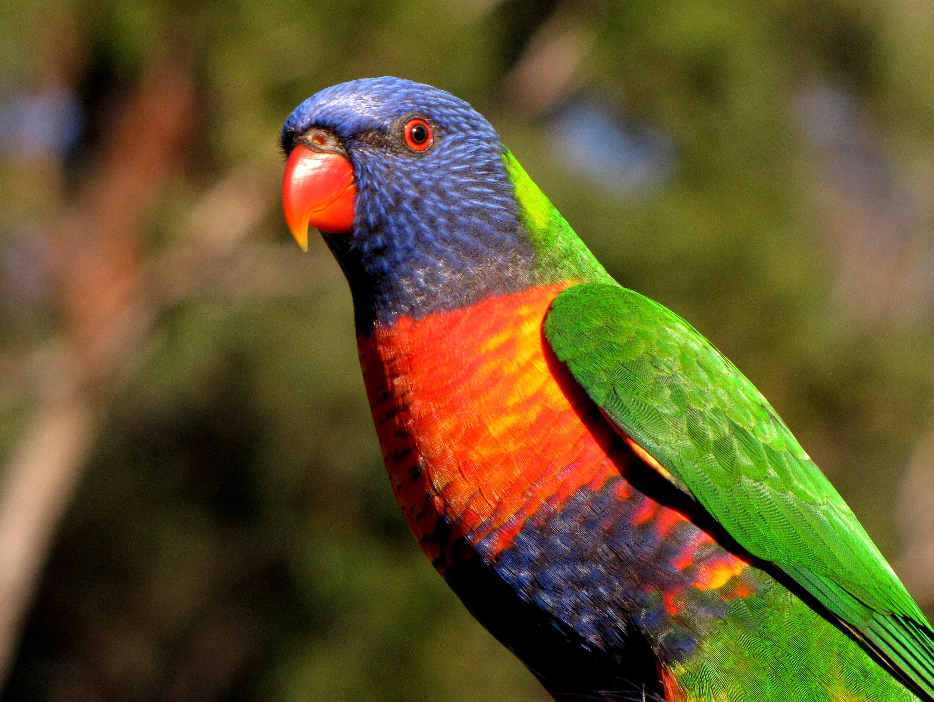 Rainbow Lorikeet – Echidna Walkabout Nature Tours