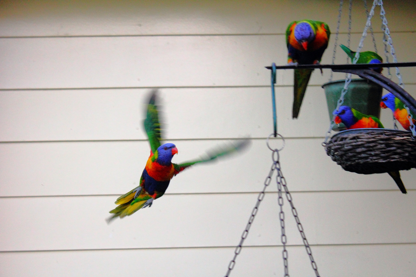 Lorikeet, Birds, Blur, Colorful, Parrot, HQ Photo