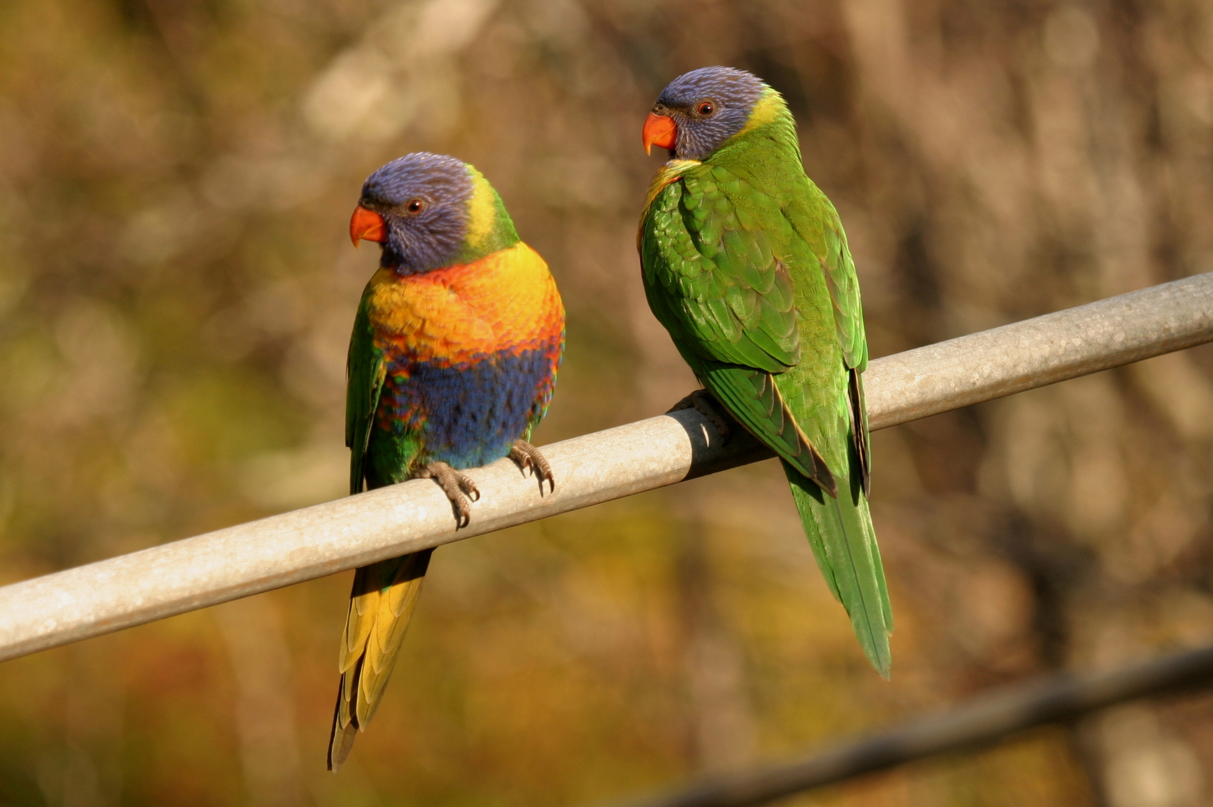 Rainbow Lorikeet | BIRDS in BACKYARDS