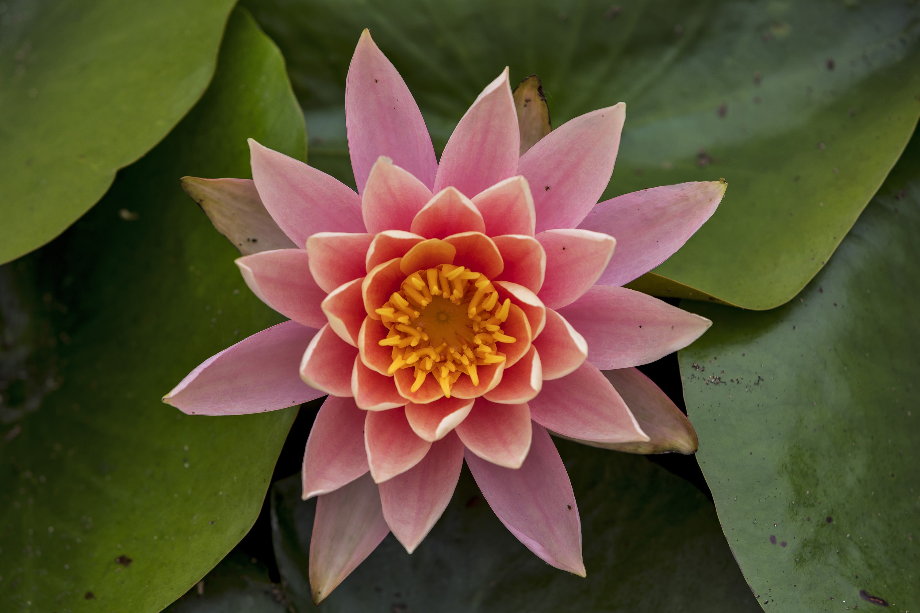 Free Photo Lotus Flower Peace Oval Petals Free Download Jooinn