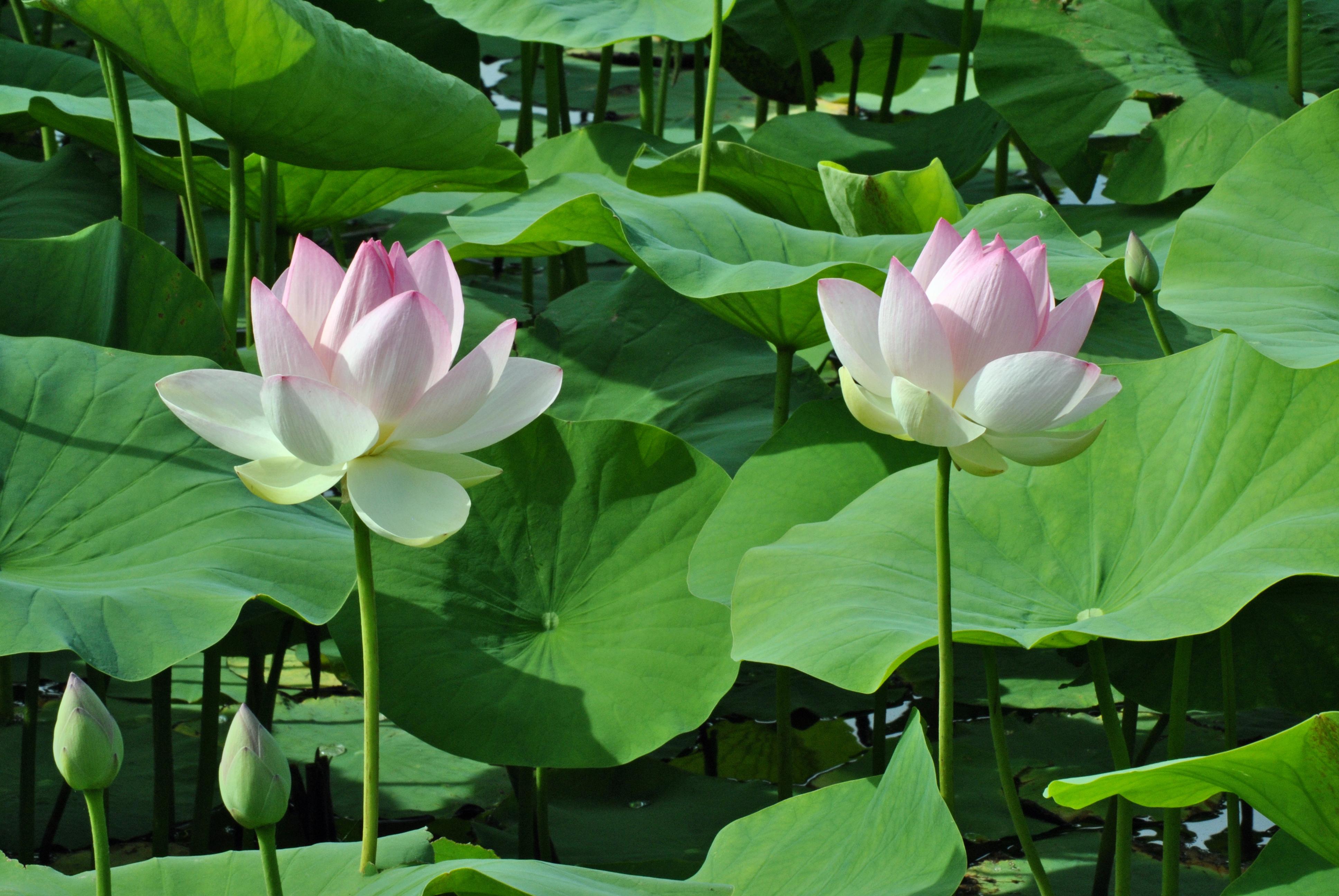 Free photo lotus flower peace oval petals non commercial lotus flower nelumbo by kordouane photography flowersplants mightylinksfo