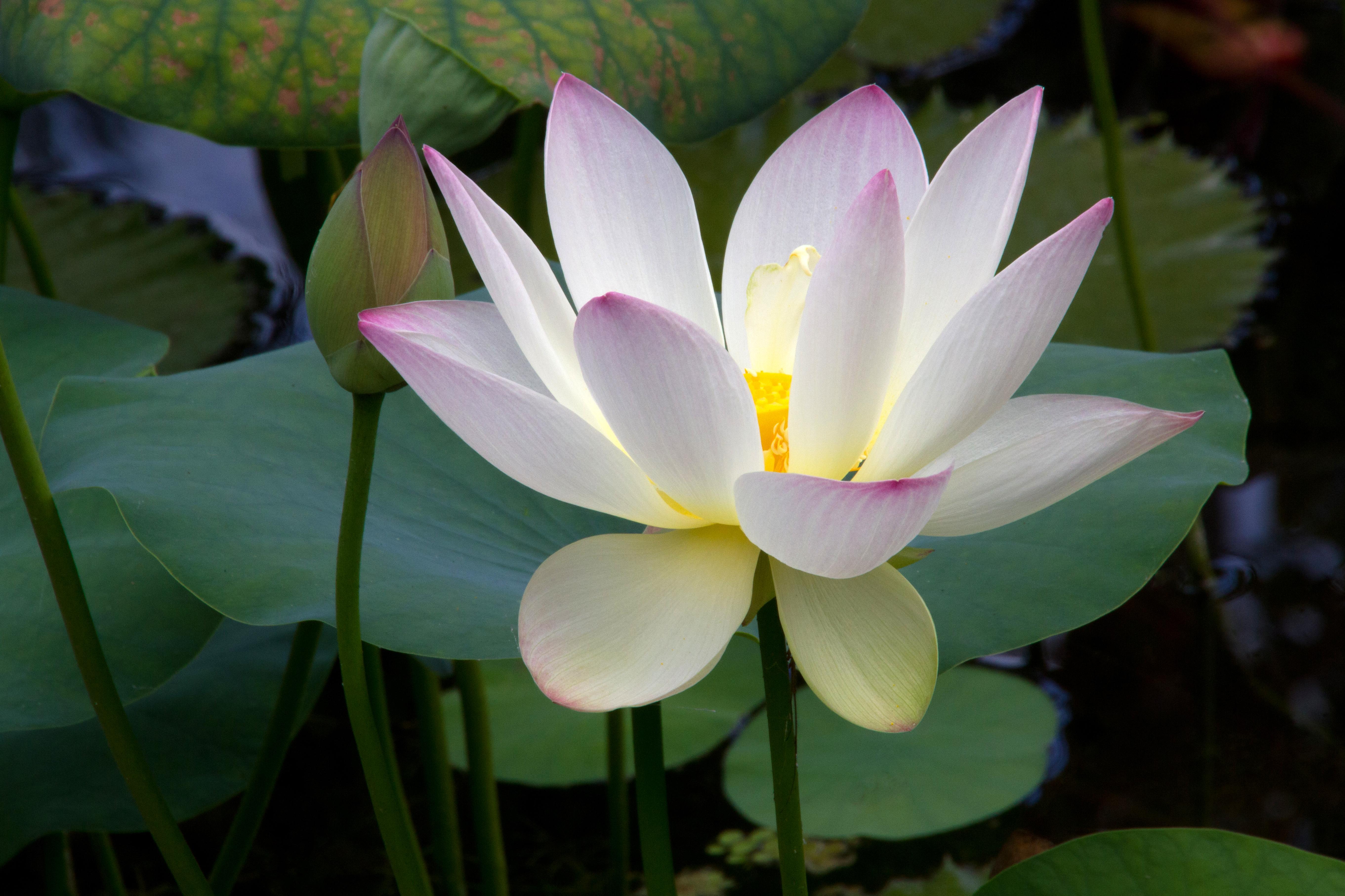 Free Photo Lotus Flower Lotus Macro Garden Free Download Jooinn