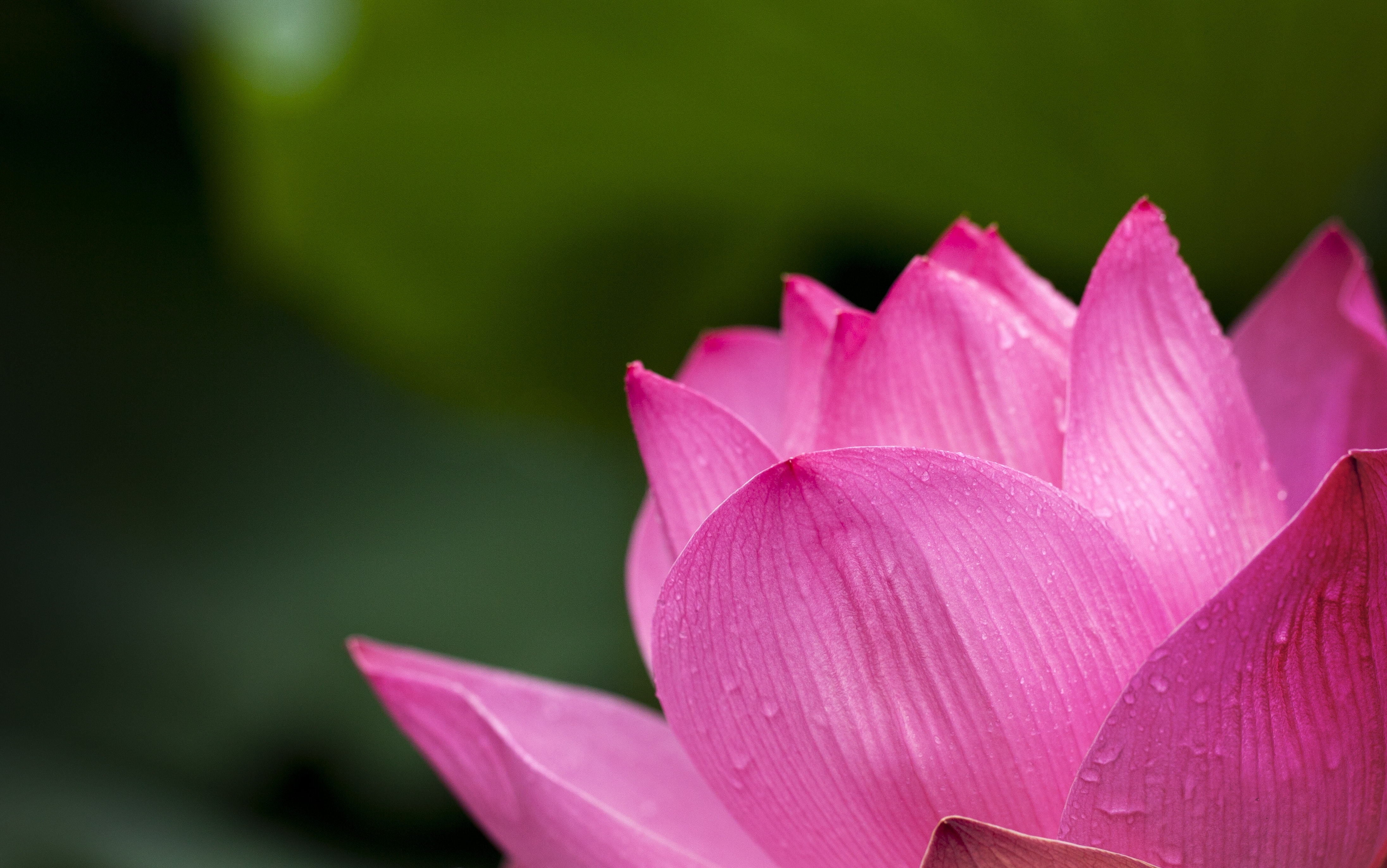 Free photo lotus flower blooming during daytime lotus macro lotus flower blooming during daytime izmirmasajfo