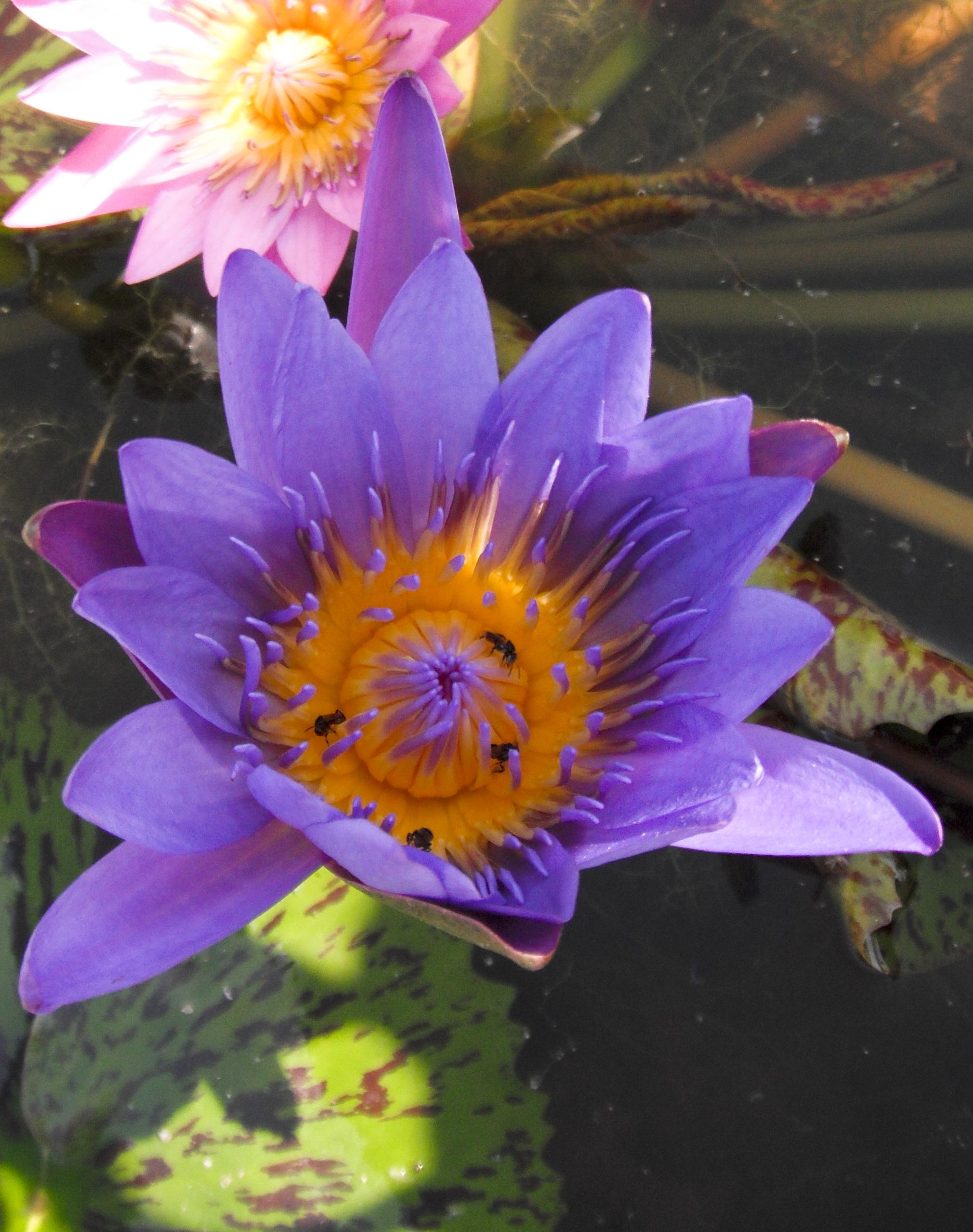 Free photo lotus flower purple orange lotus free download lotus flower purple orange lotus con2011 hq photo izmirmasajfo