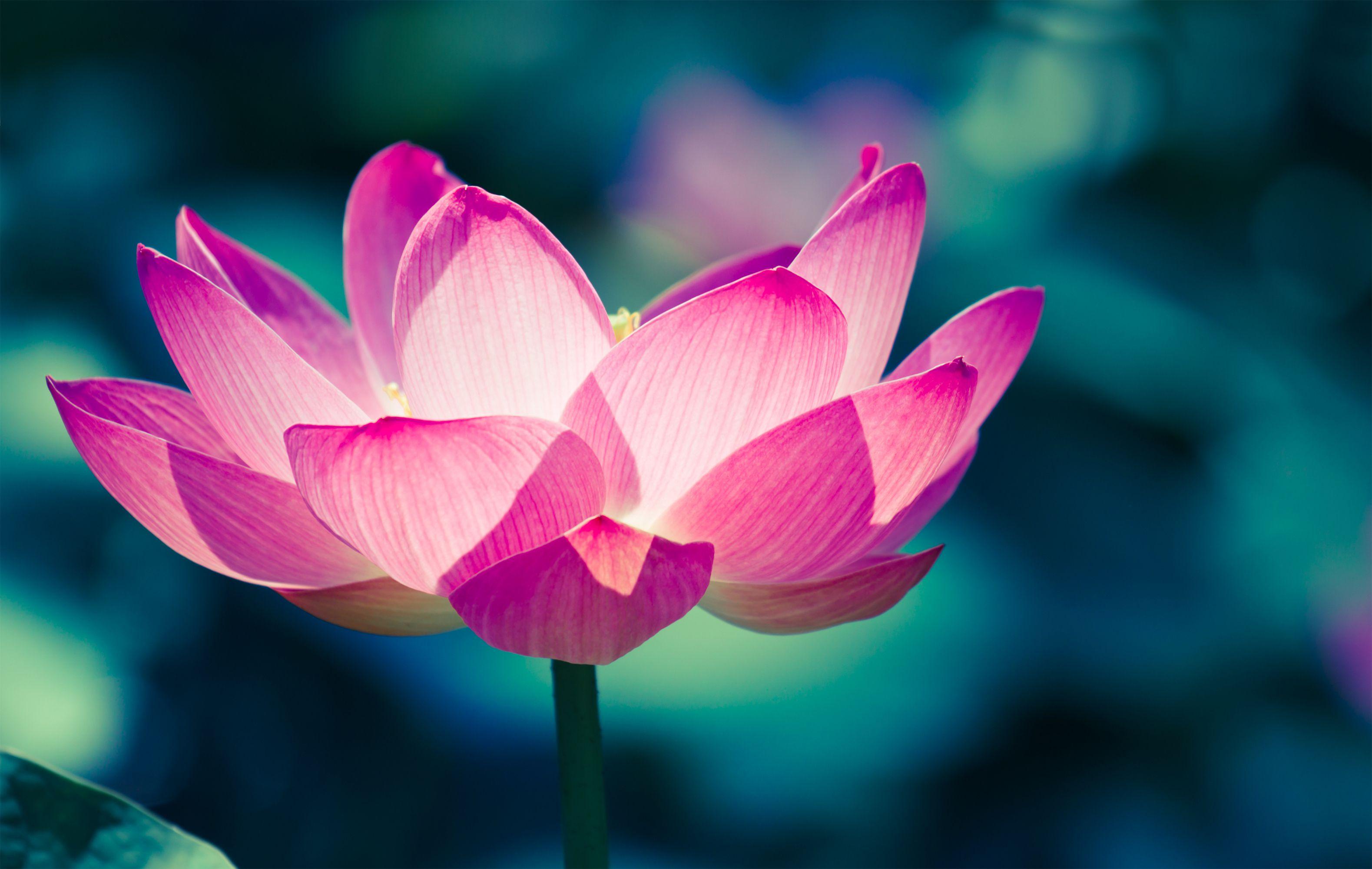 Free photo lotus flower purple orange lotus free download lotus flower mightylinksfo