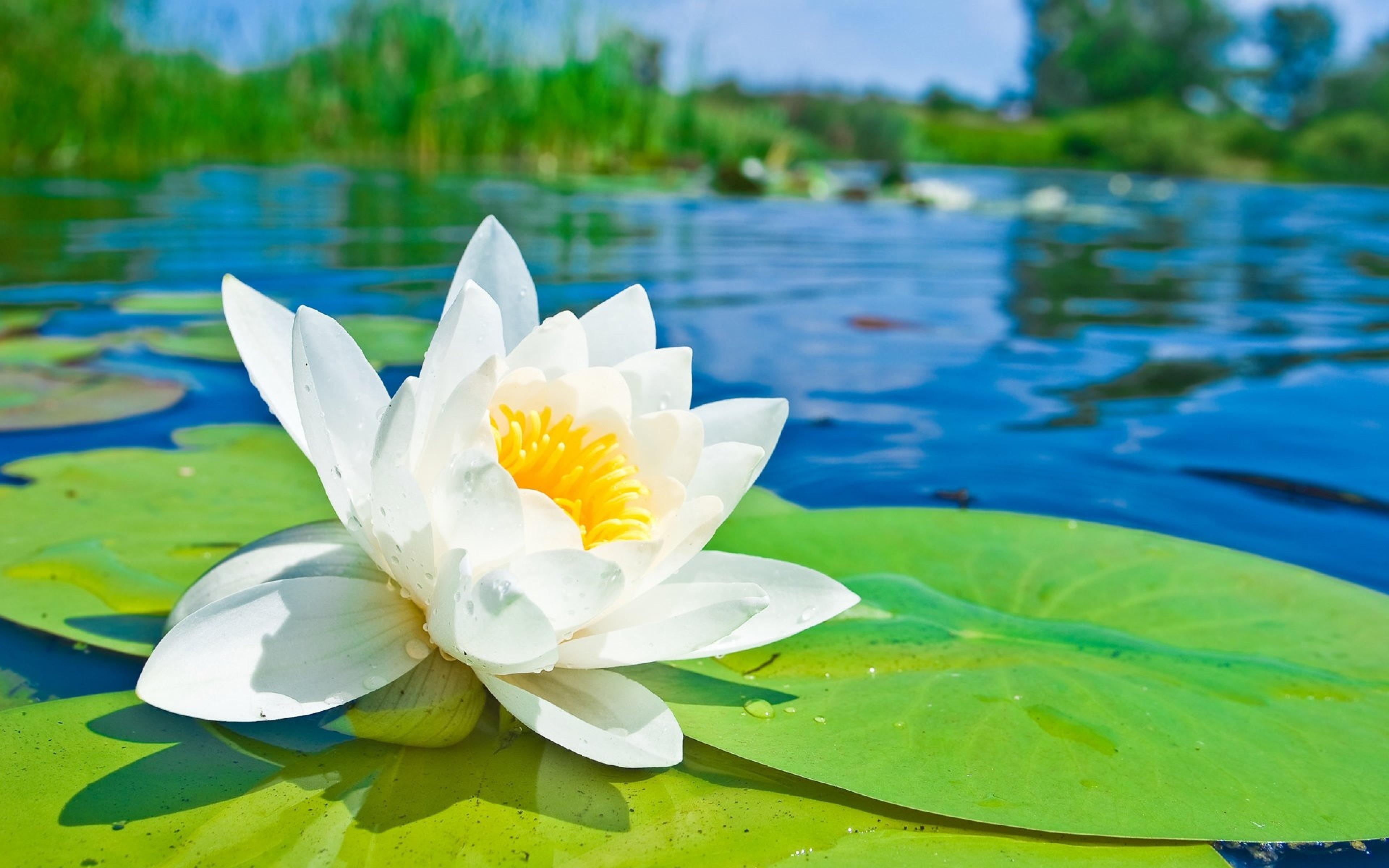 Free Photo Lotus Flowers Water Yellow Pond Free Download Jooinn