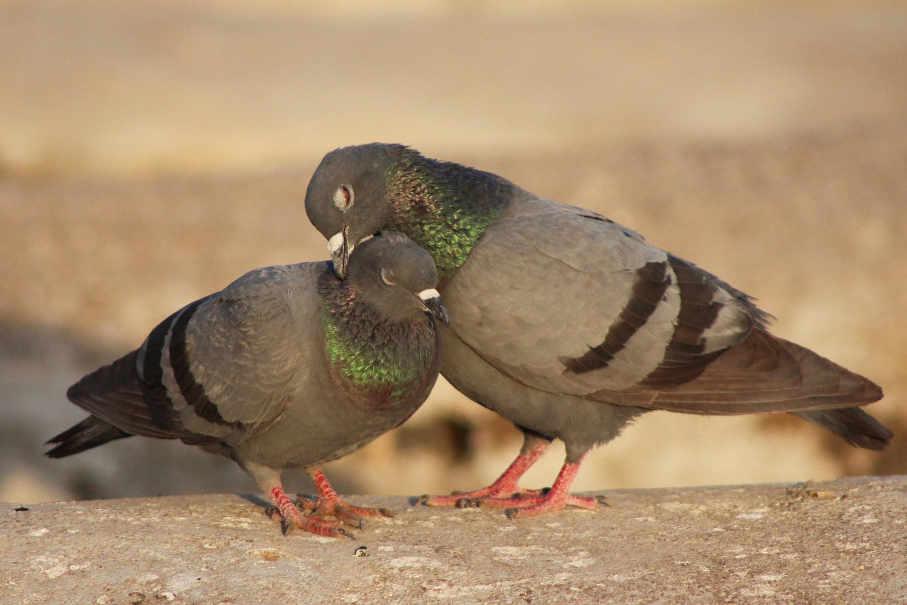 Love, Birds, Dove, HQ Photo