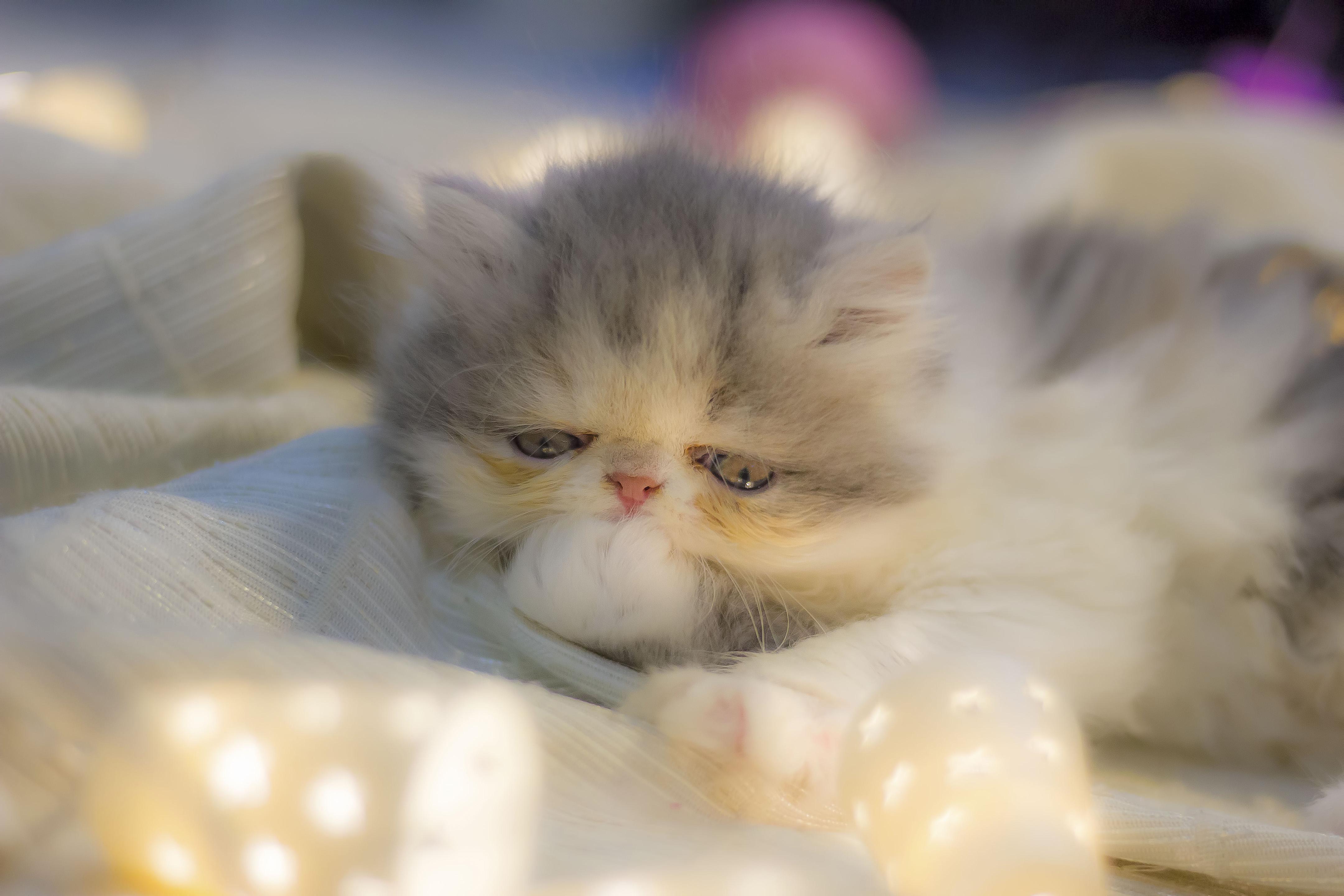 Lovely cat at Christmas, Animal, Cat, Christmas, Kitten, HQ Photo