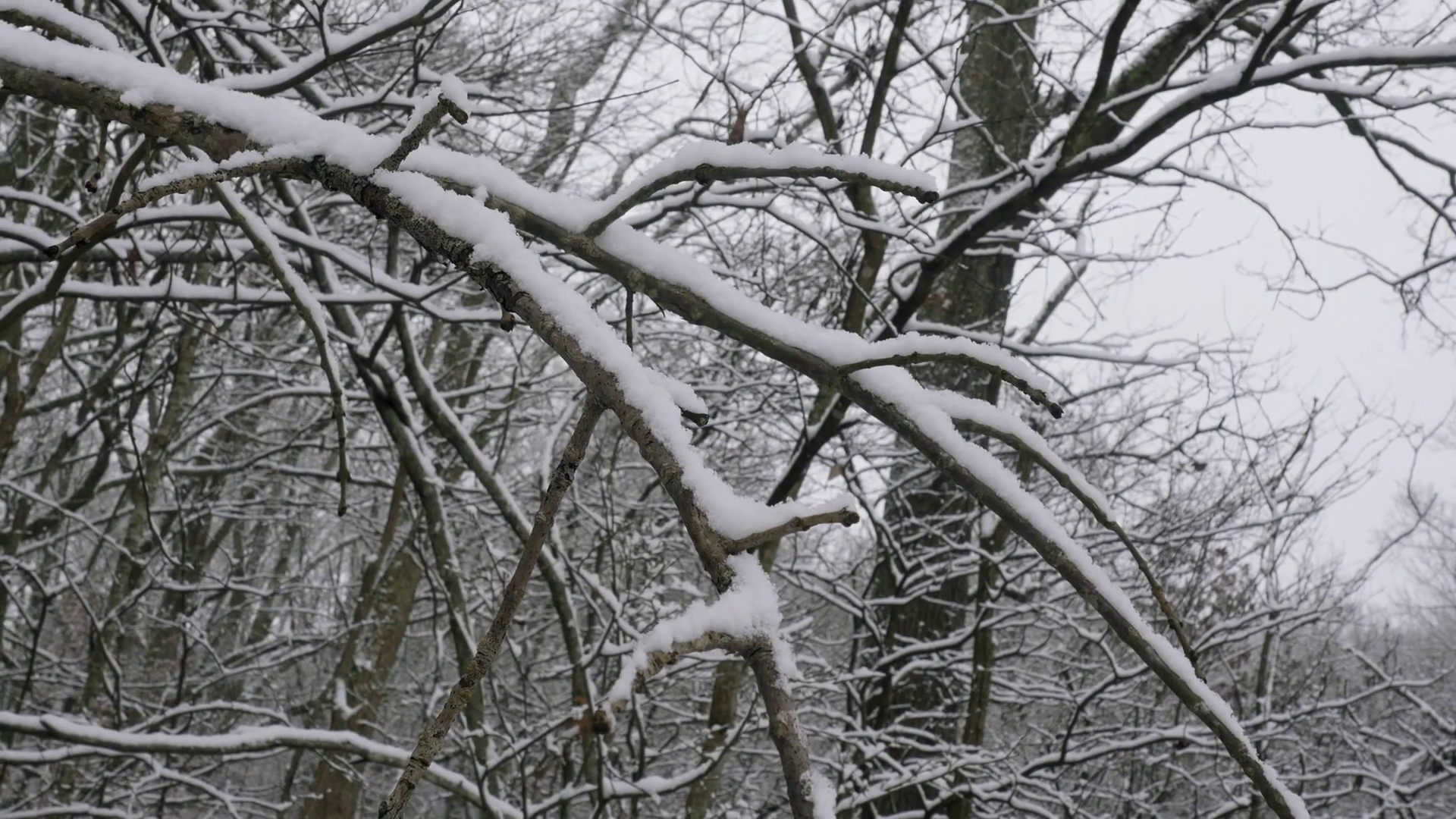 A recent winter snowfall blankets bare tree branches in 4k. The ...