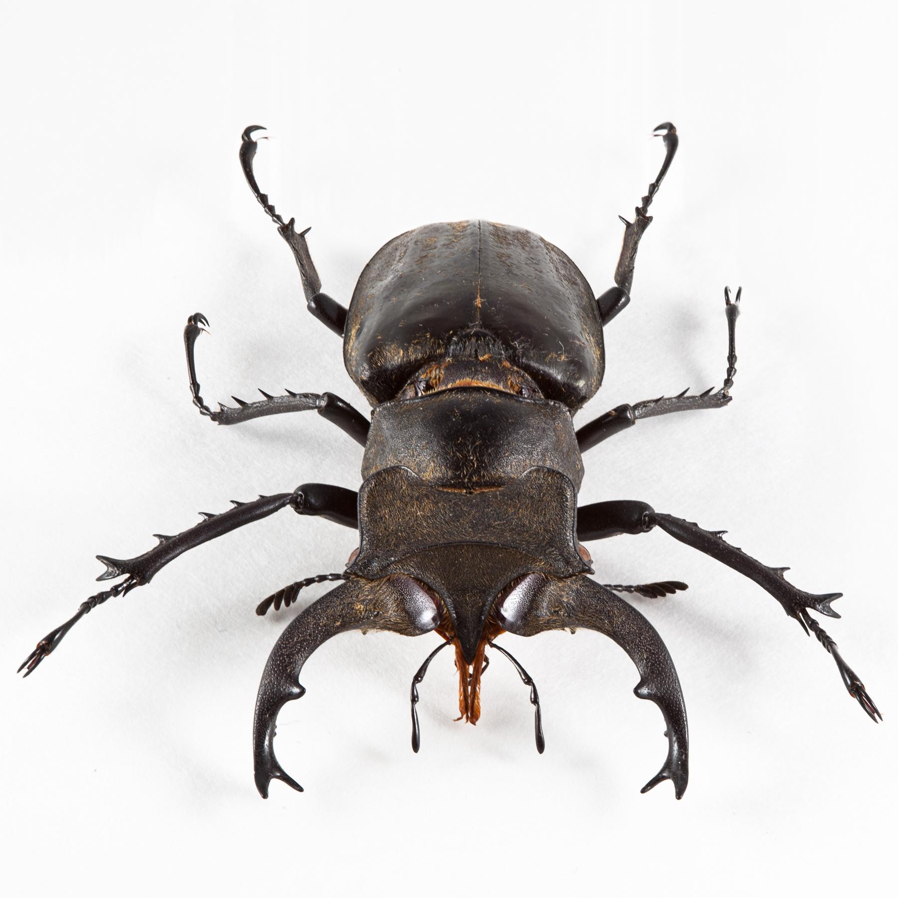 Lucanus Formosanus Beetle, Animal, Invertebrate, Isolate, Isolated, HQ Photo