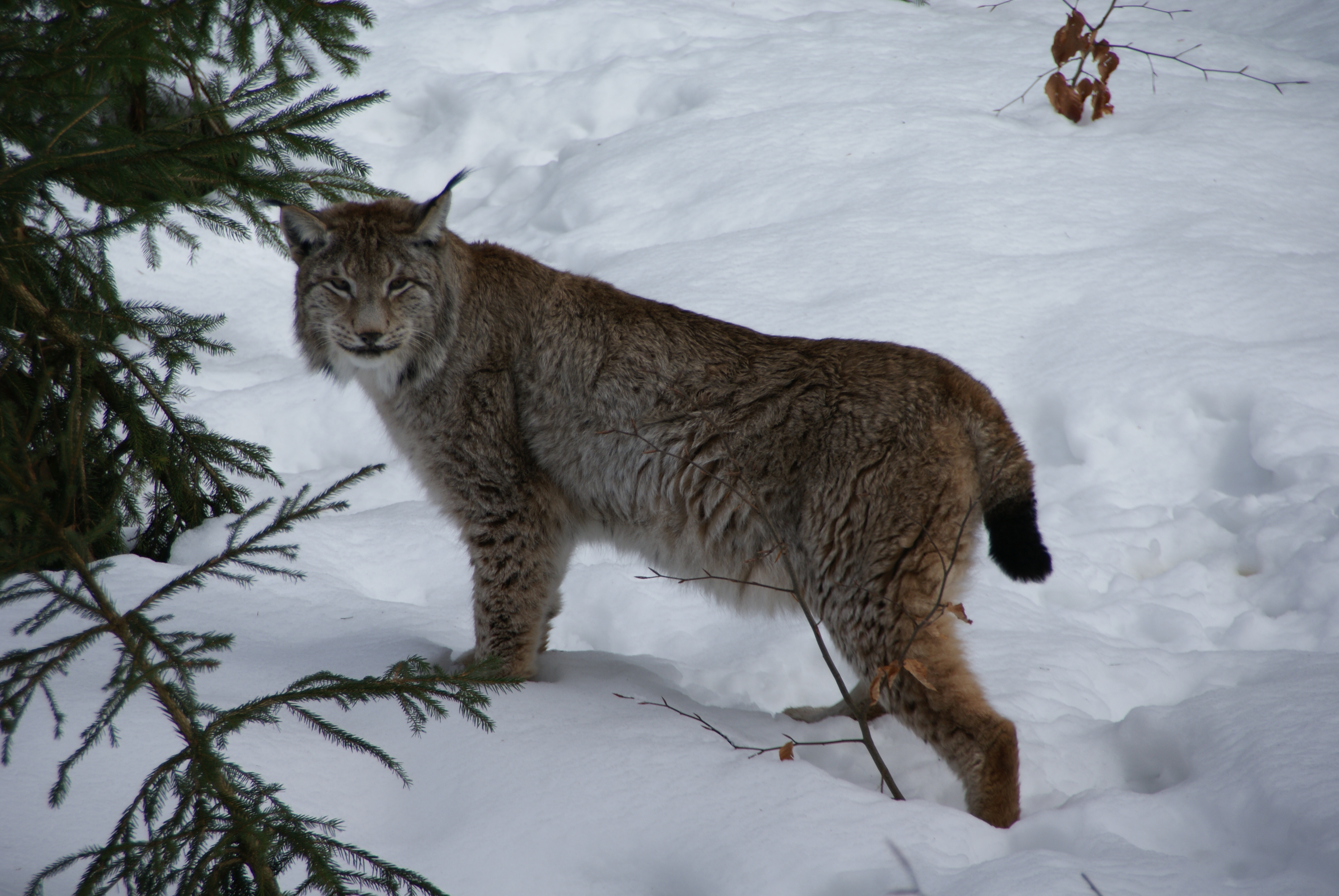 File:Lynx Nationalpark Bayerischer Wald 01.jpg - Wikimedia Commons