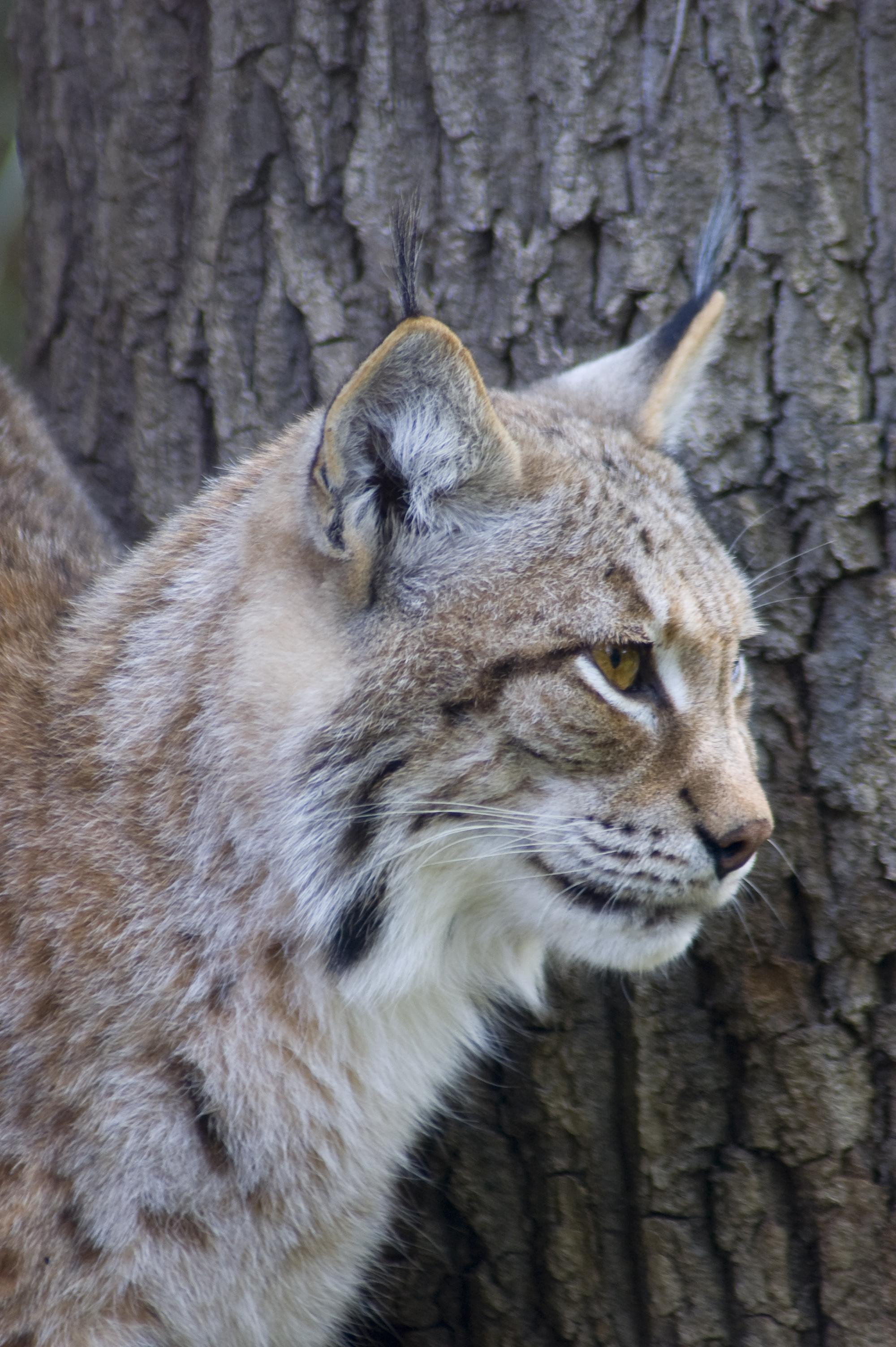 Lynks, ancestors of domestic cats