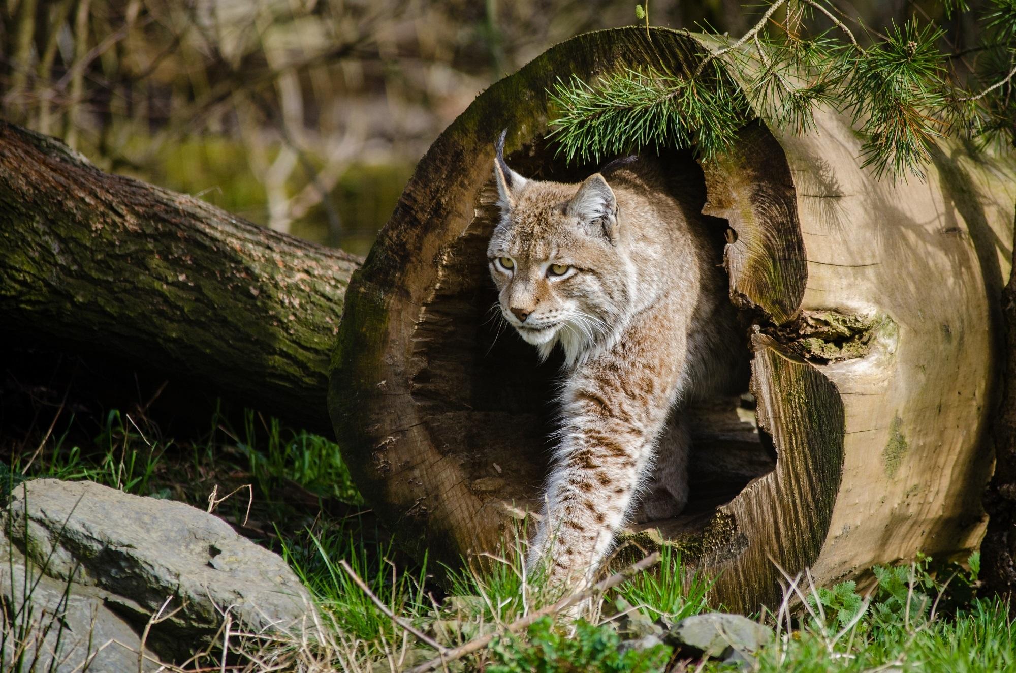 Lynx in the jungle photo