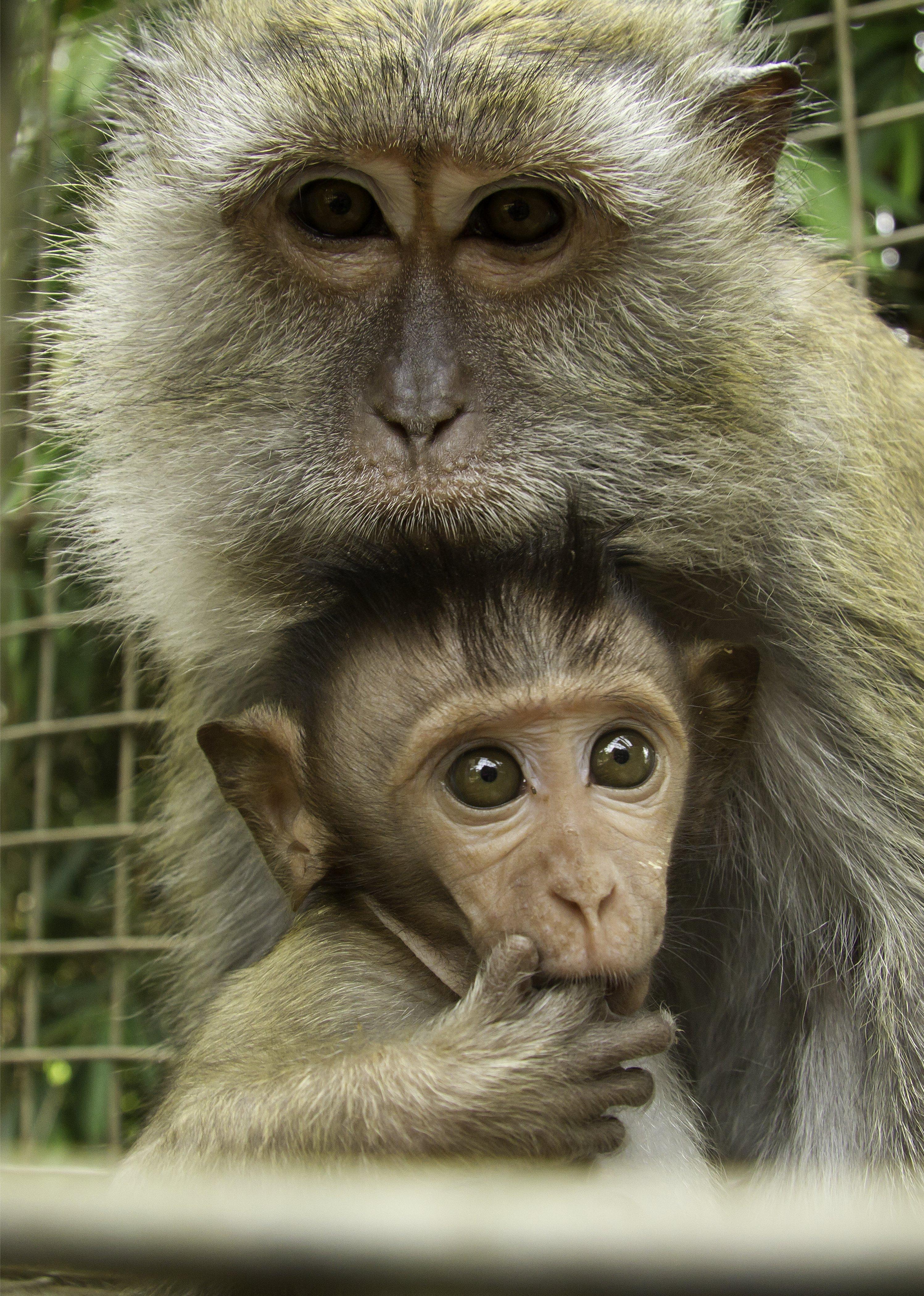 Macaque photo