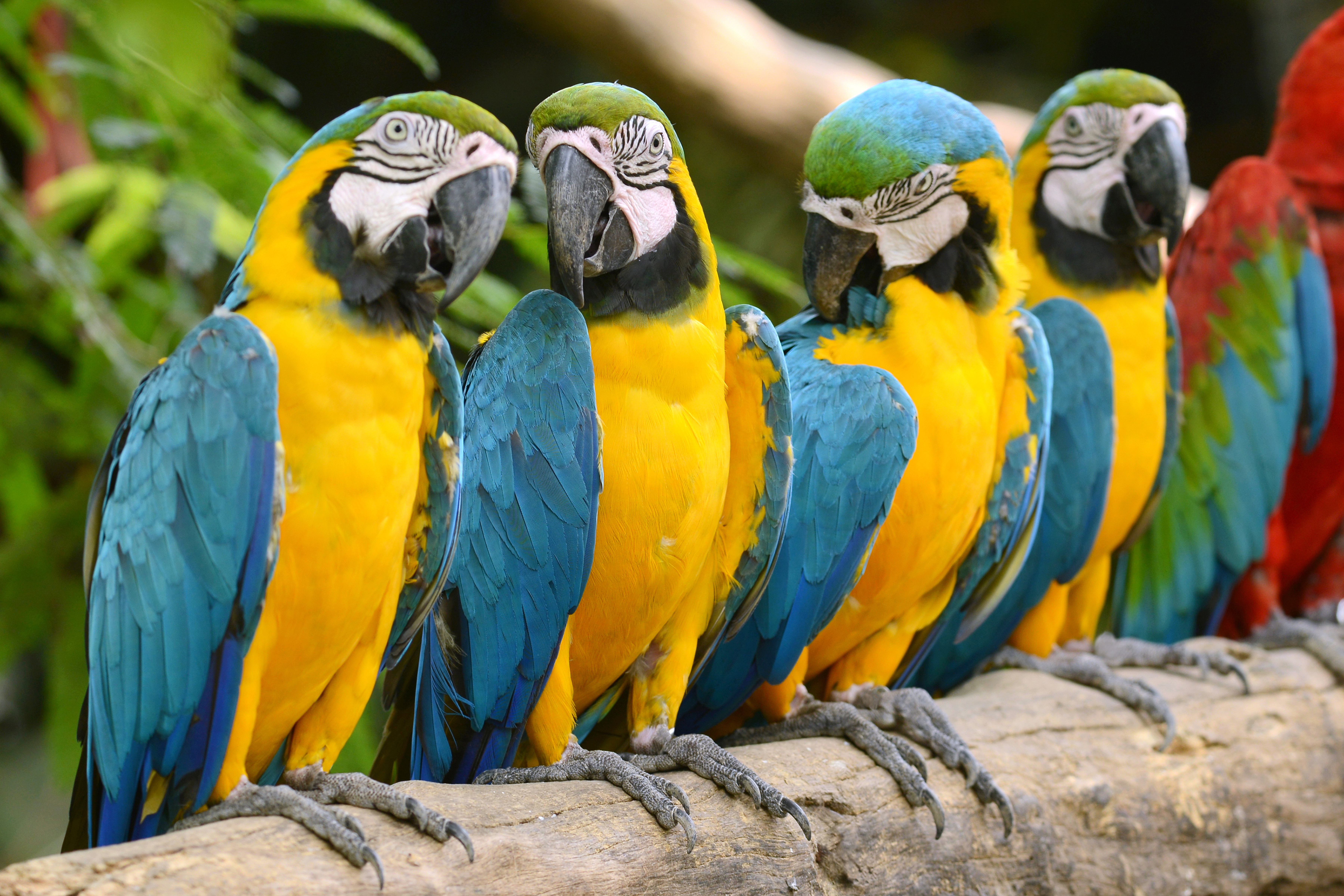 Macaws | Product categories | Goldenfeast Direct