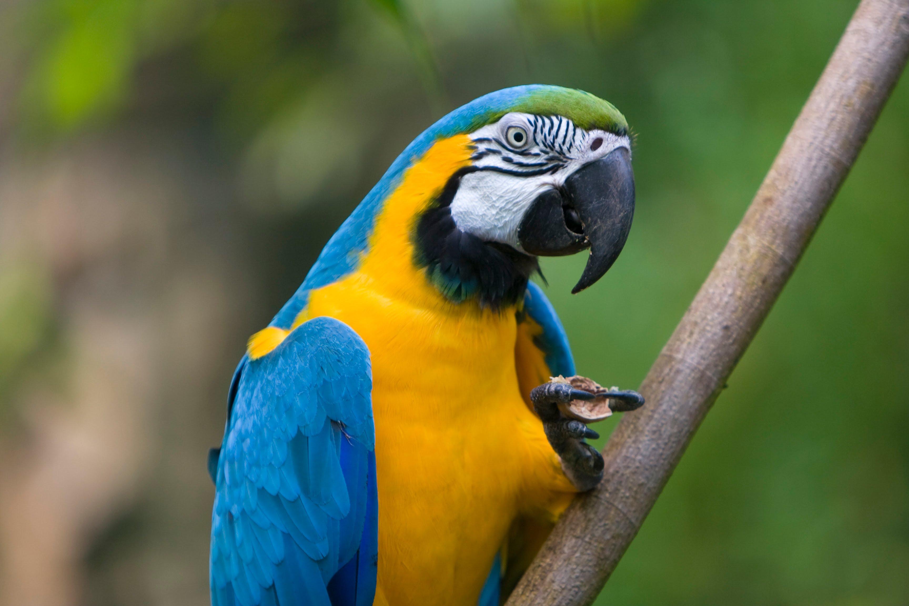 Blue-and-yellow Macaw (Ara ararauna) - YouTube
