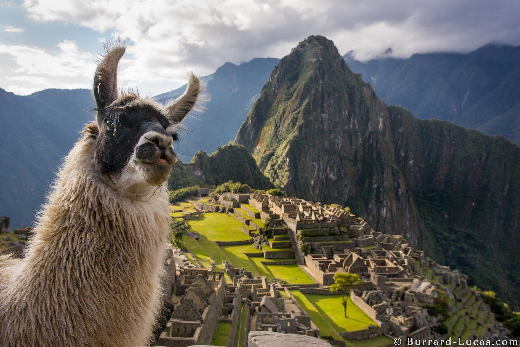 Llama photobomb at Machu Picchu! - Imgur