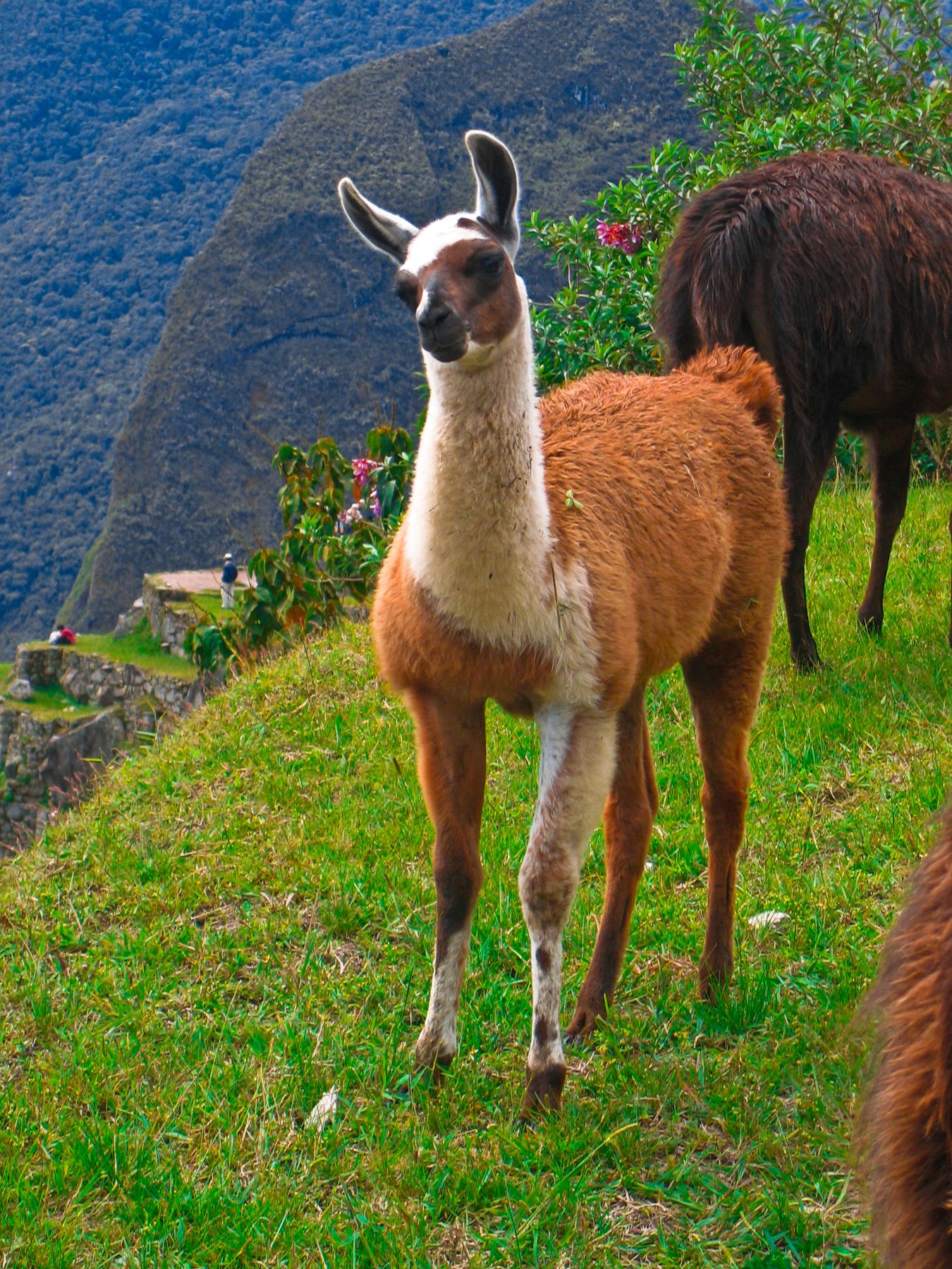 Machu Picchu Llama, America, Photograph, Maroon, Natural, HQ Photo