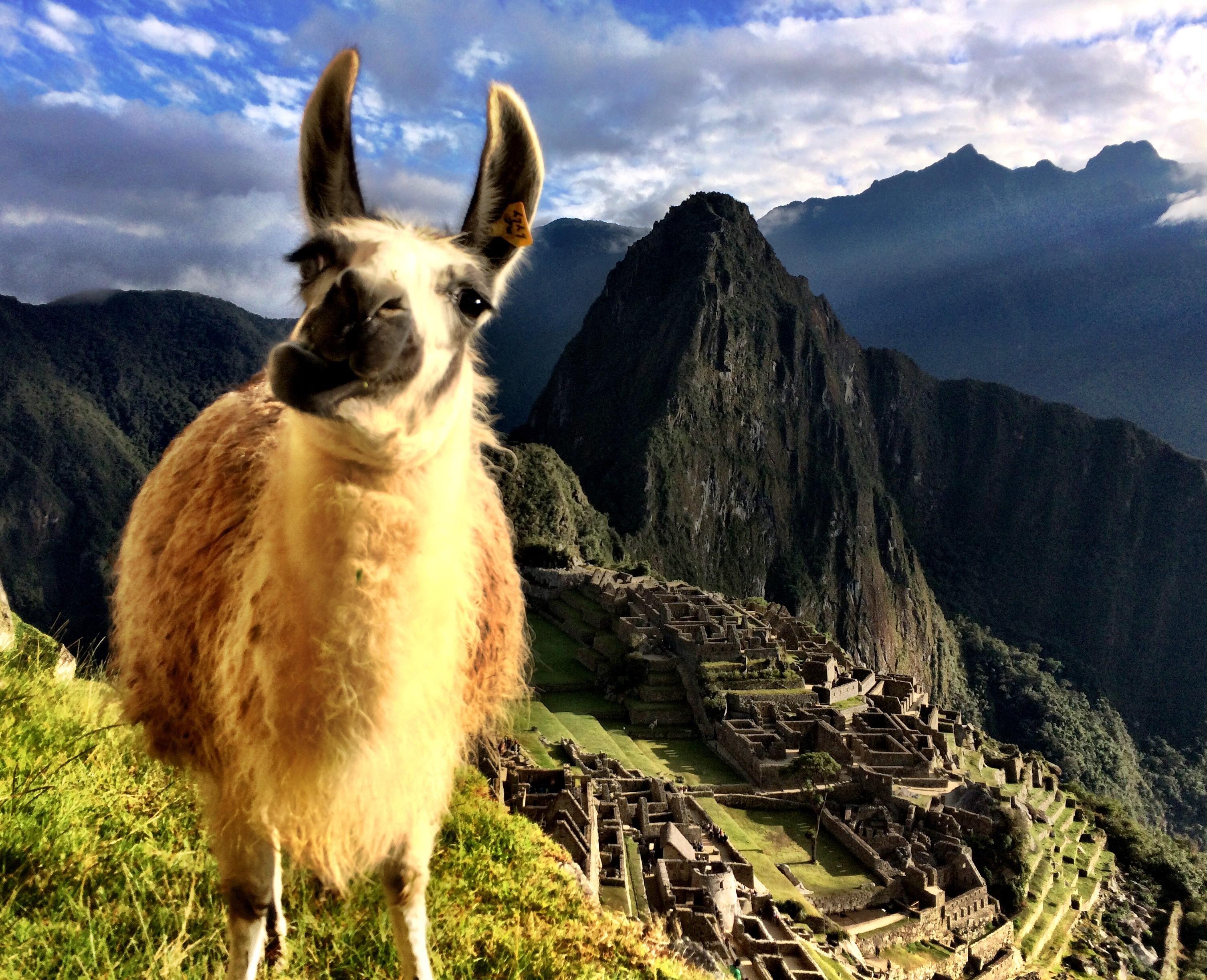 Curious Llama At Machu Picchu