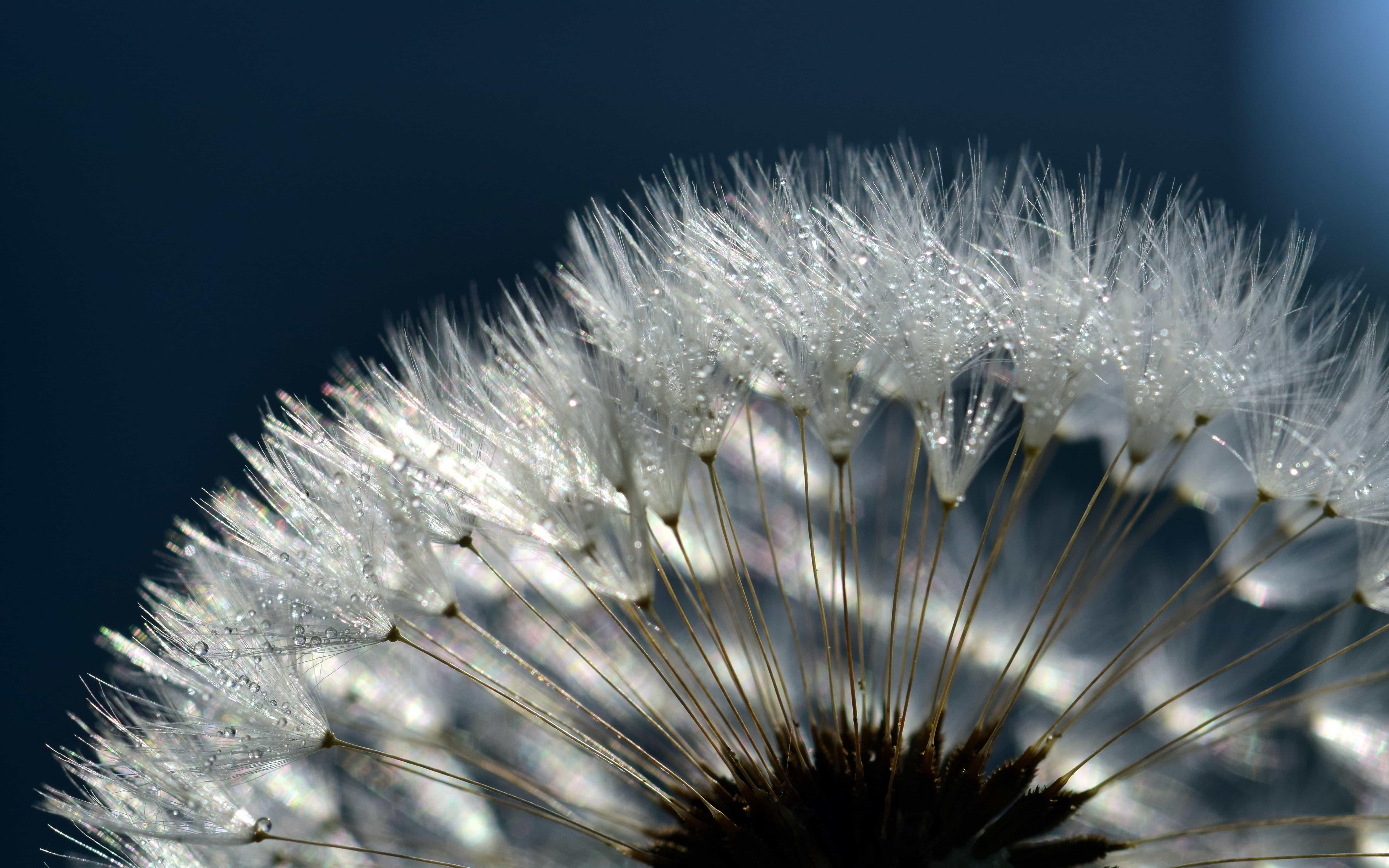 Macro dandelion photo