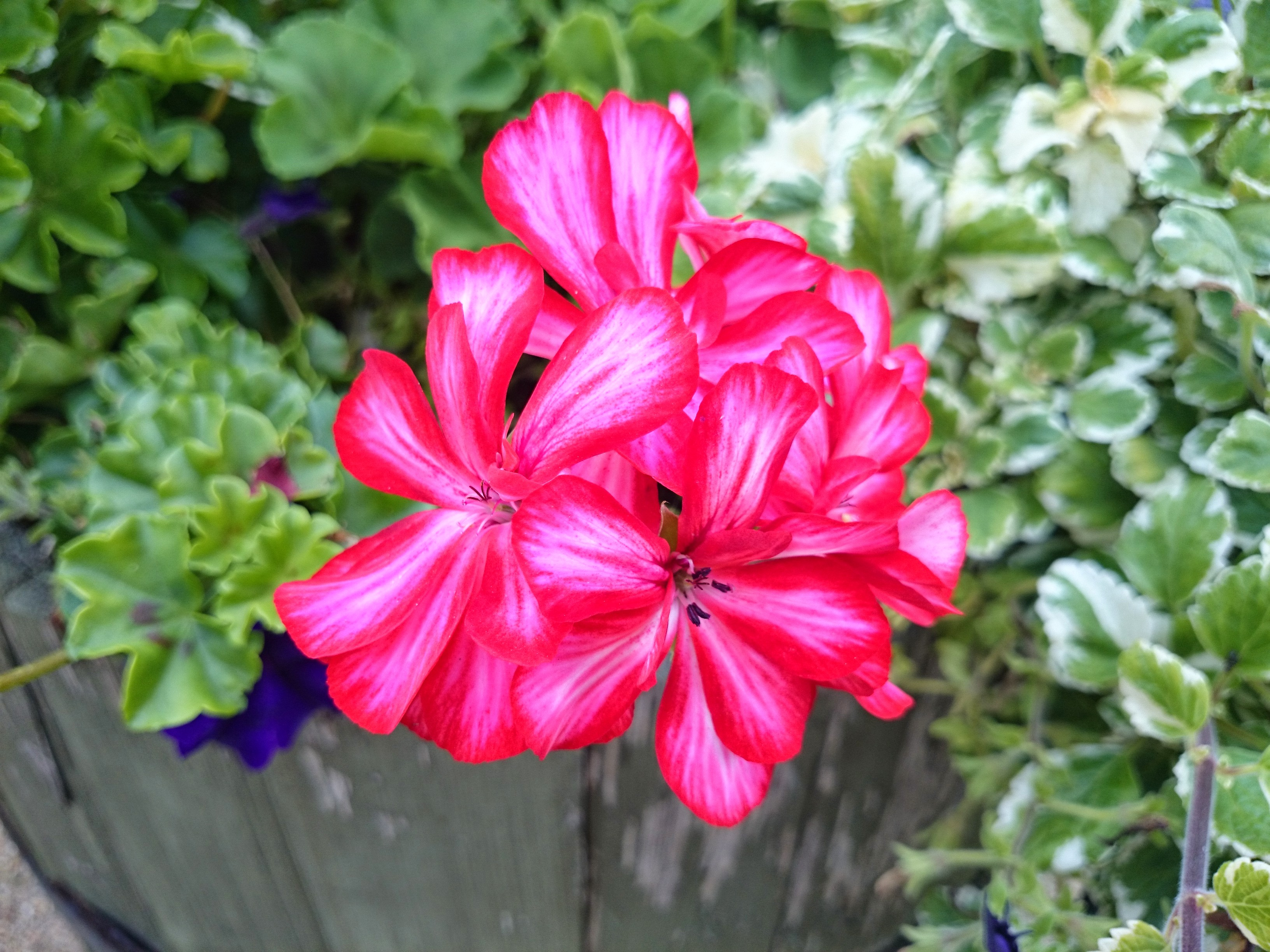 Macro Flower Shot, Fresh, Nature, Macro, Lavender, HQ Photo