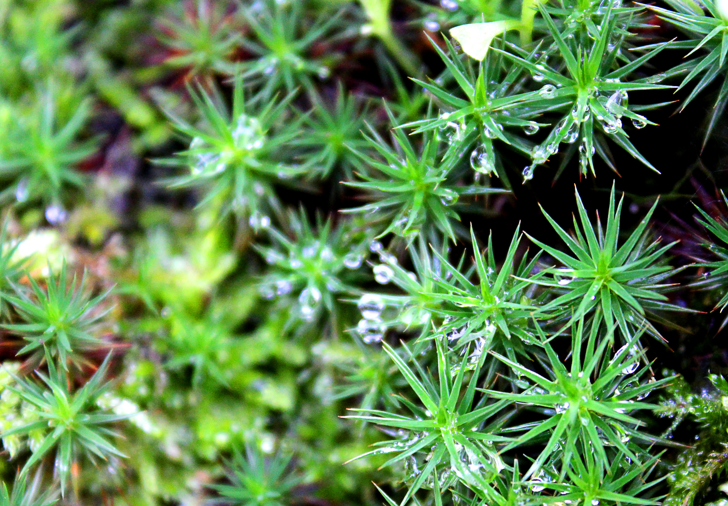 Macro of dew drops on moss photo