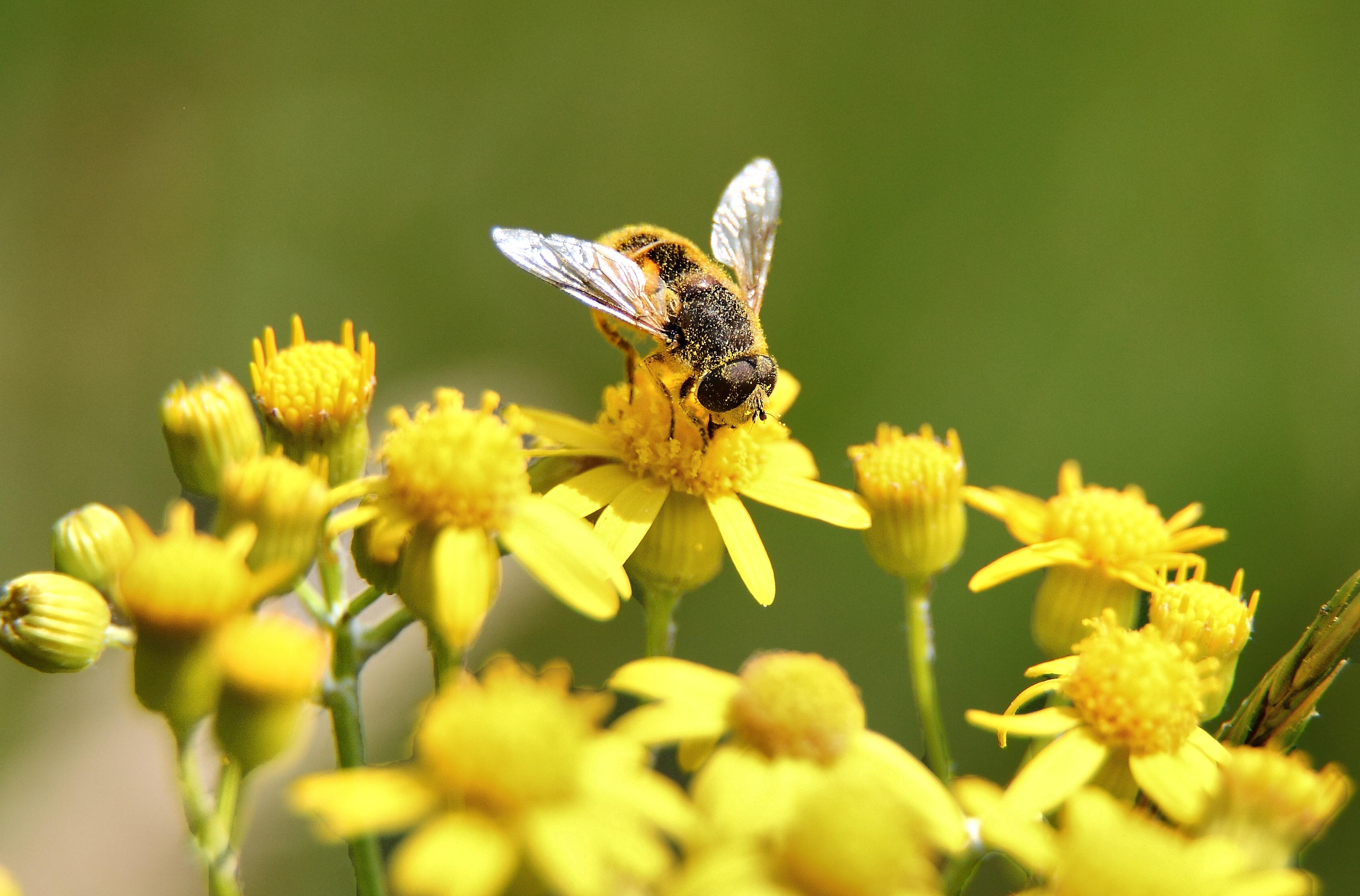 Macro Bee Gathering Pollen Yellow Flower | Wildlife| Free Nature ...
