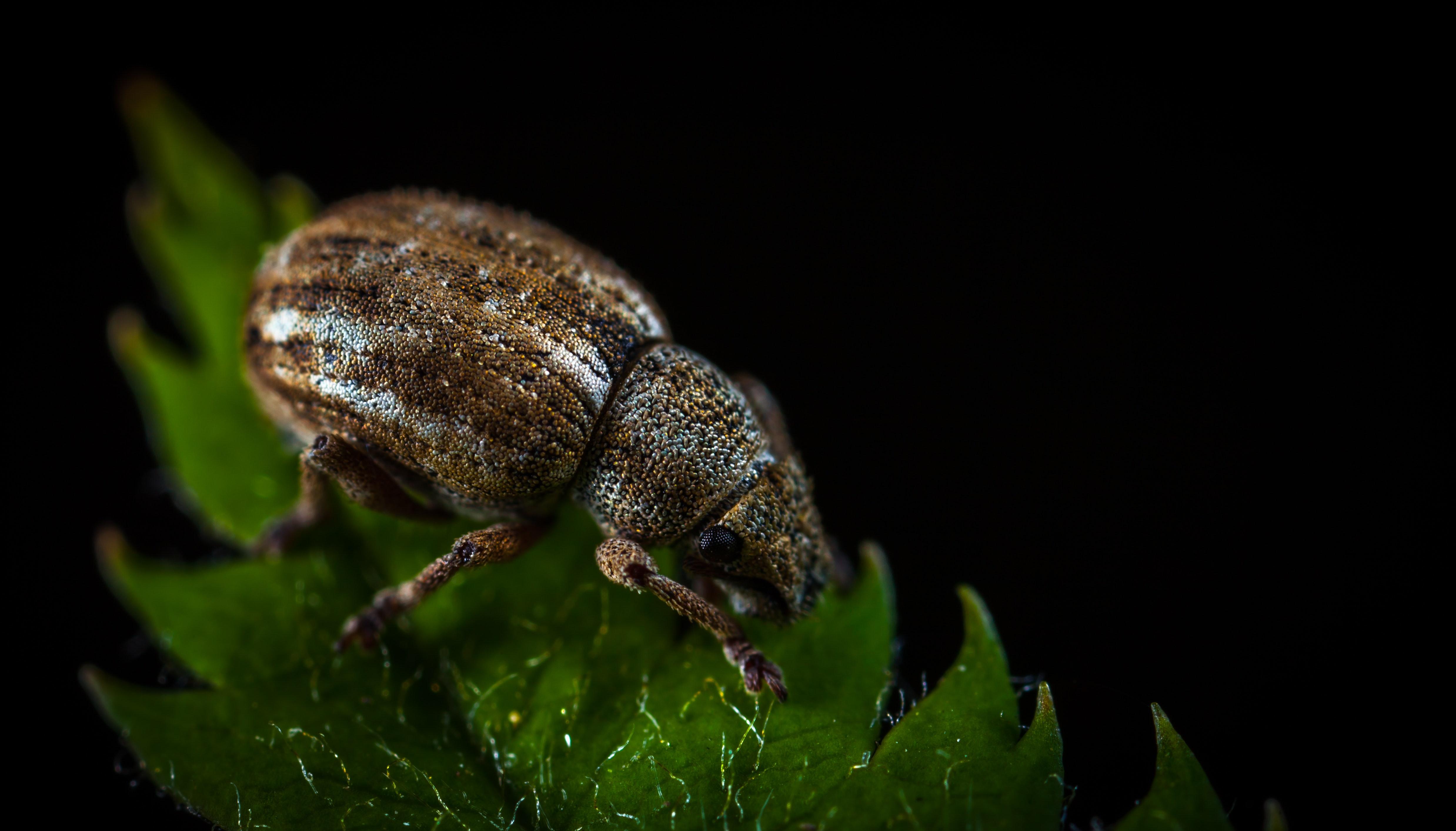 Macro Photography of Brown Weevil on Green Leaf, Animal, Beetle, Biology, Black background, HQ Photo