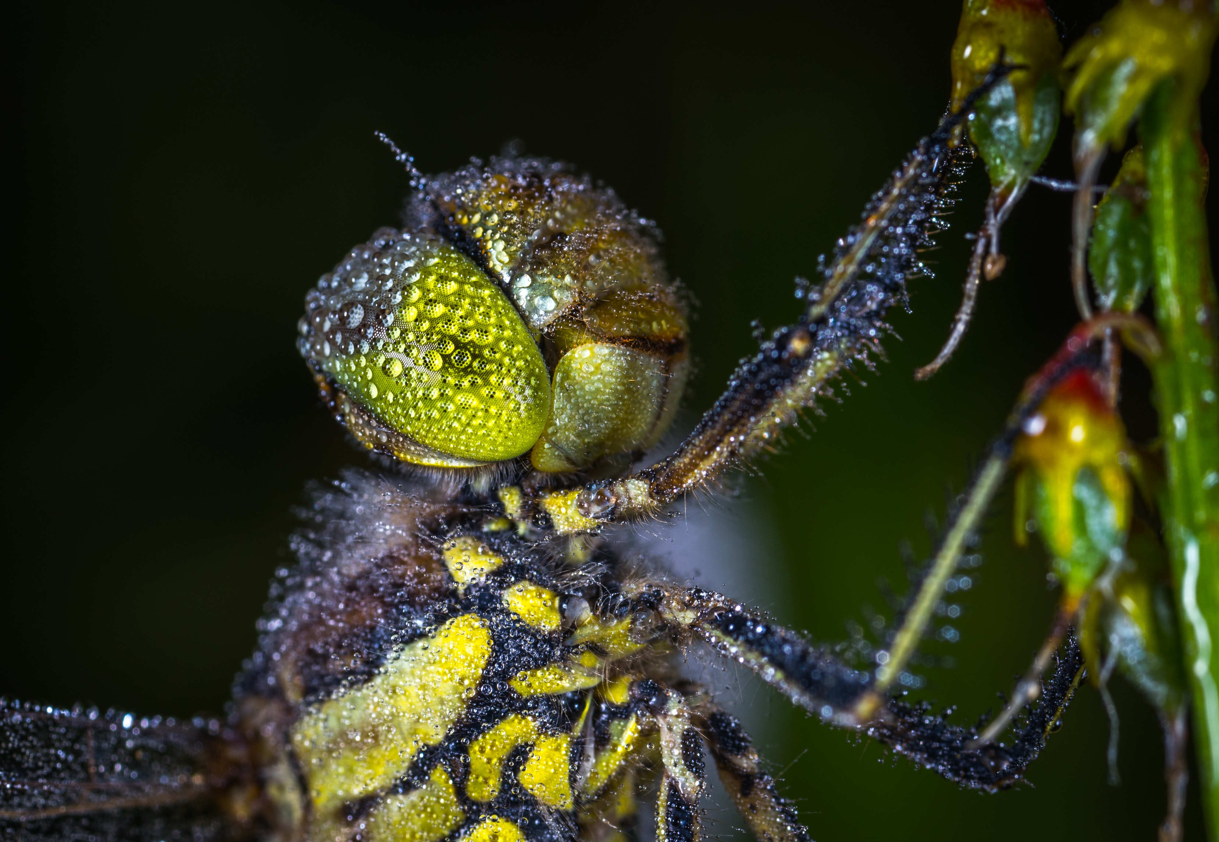 Macro photography of  dragonfly