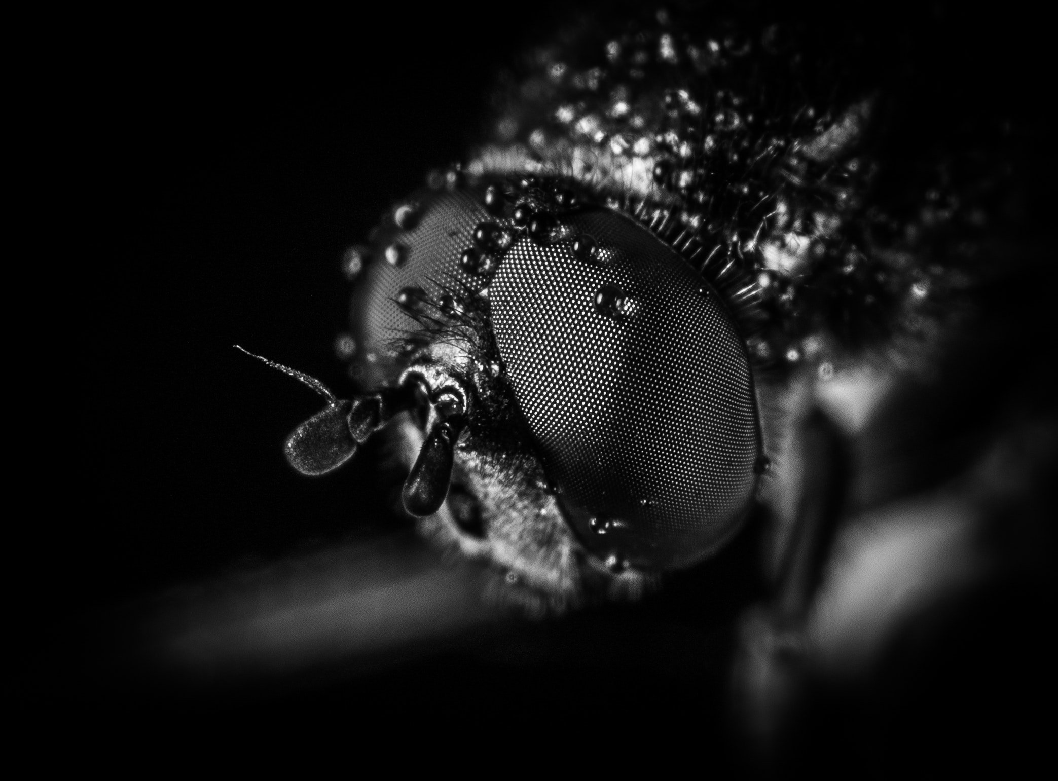 Macro photography of fly