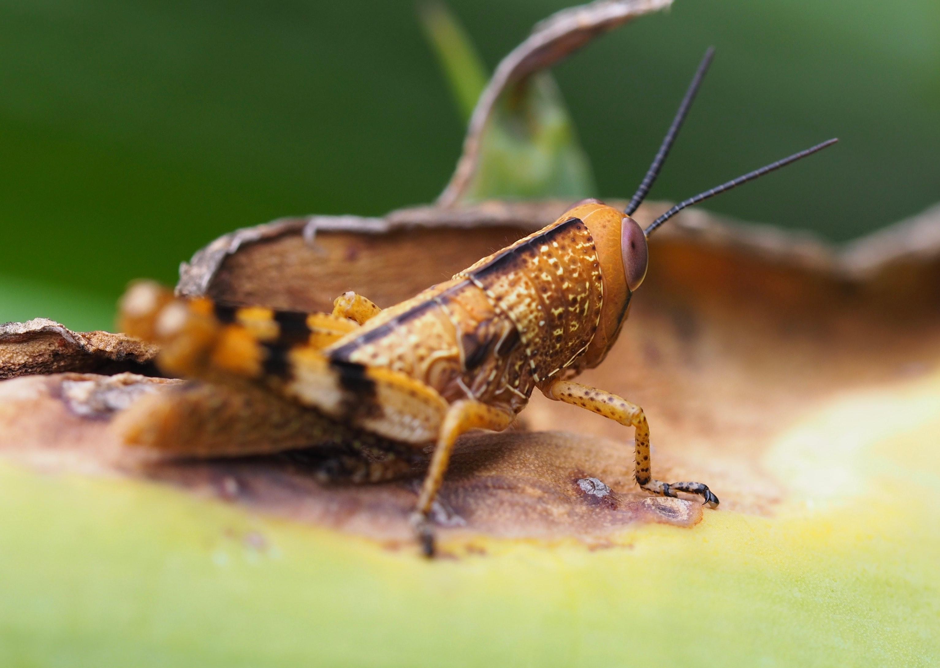 free photo: macro photography of grasshopper - macro, little, legs