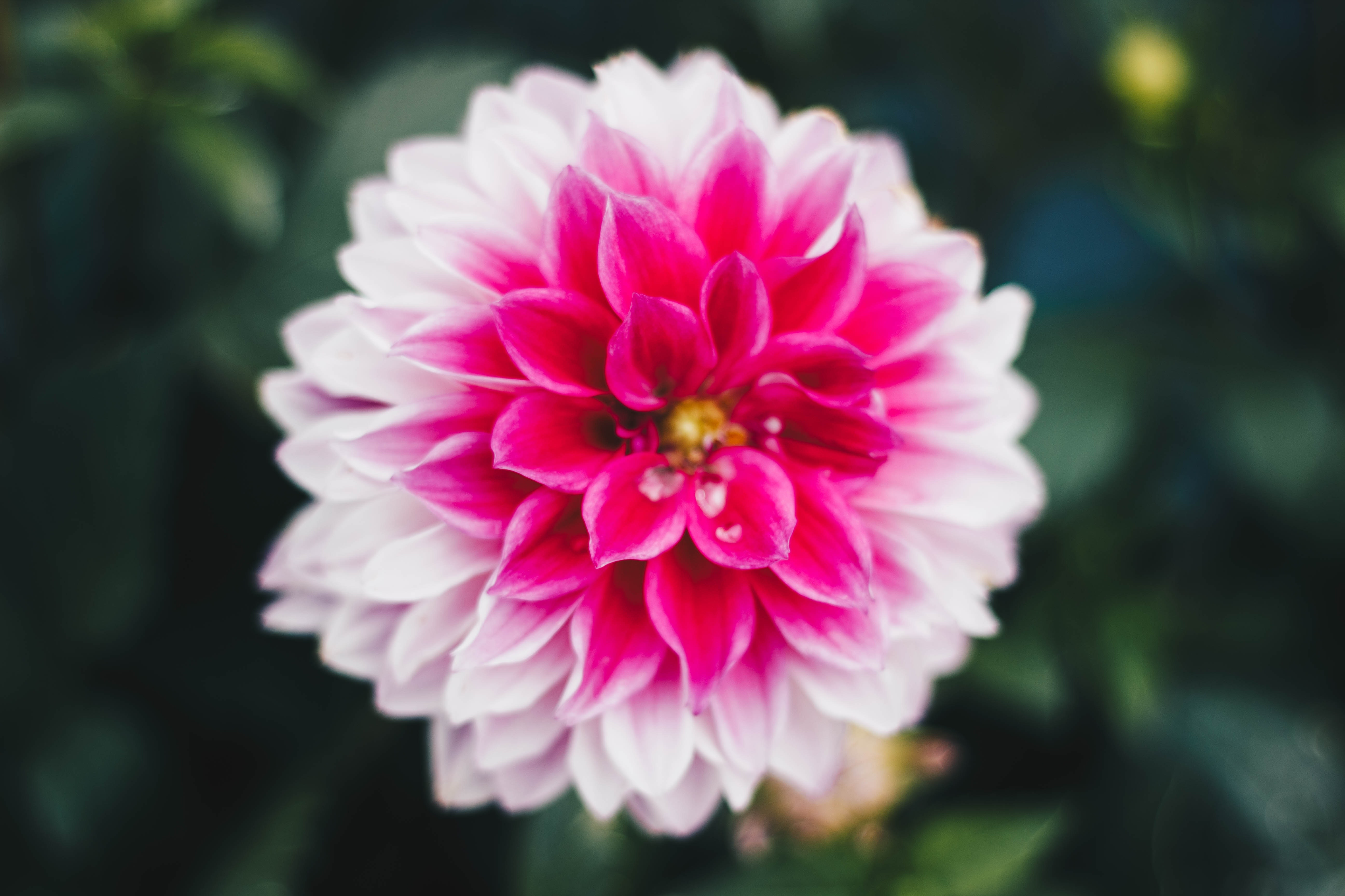 Macro photography of pink and white carnation flower