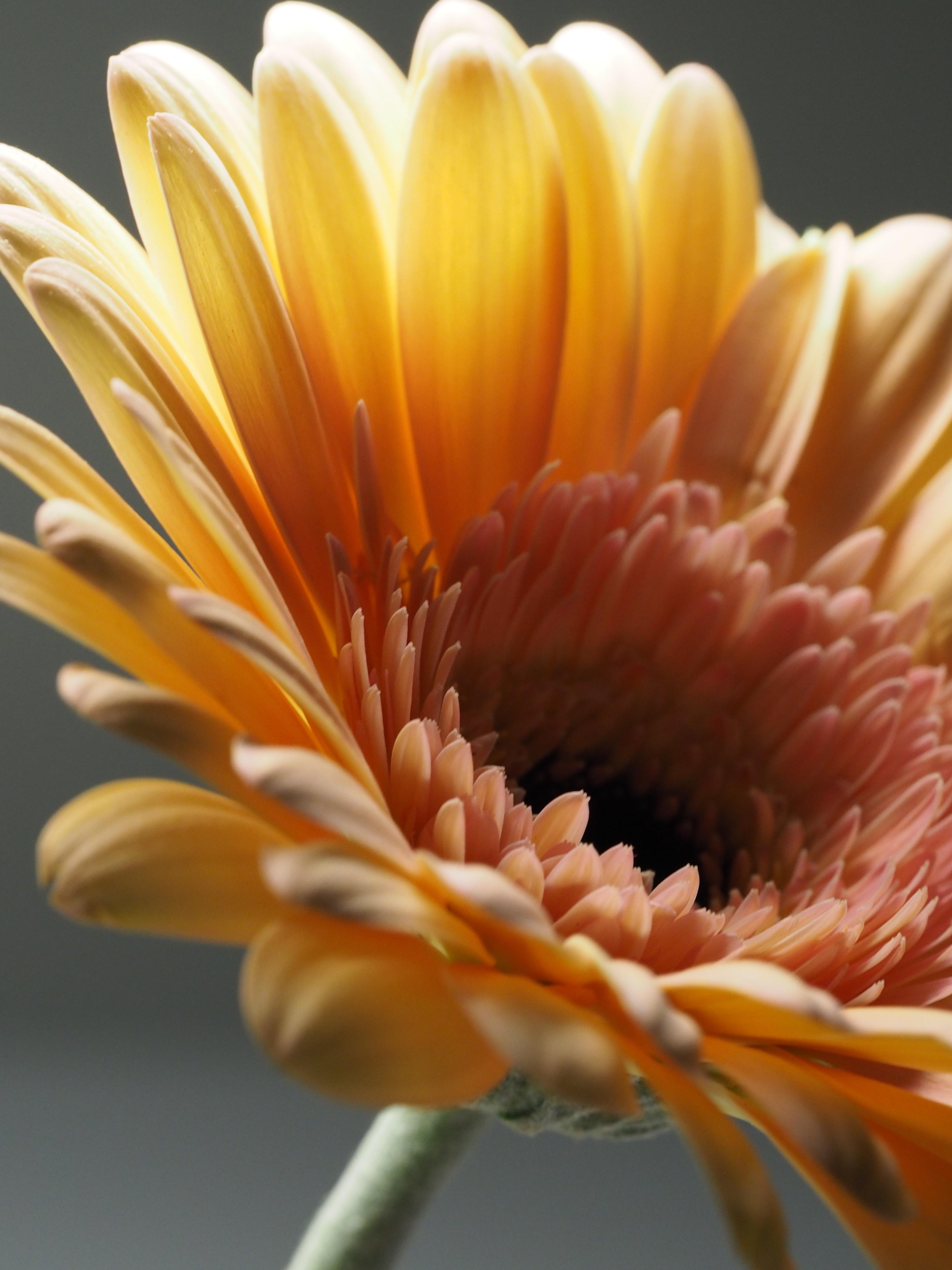 Macro photography of yellow gerbera flower