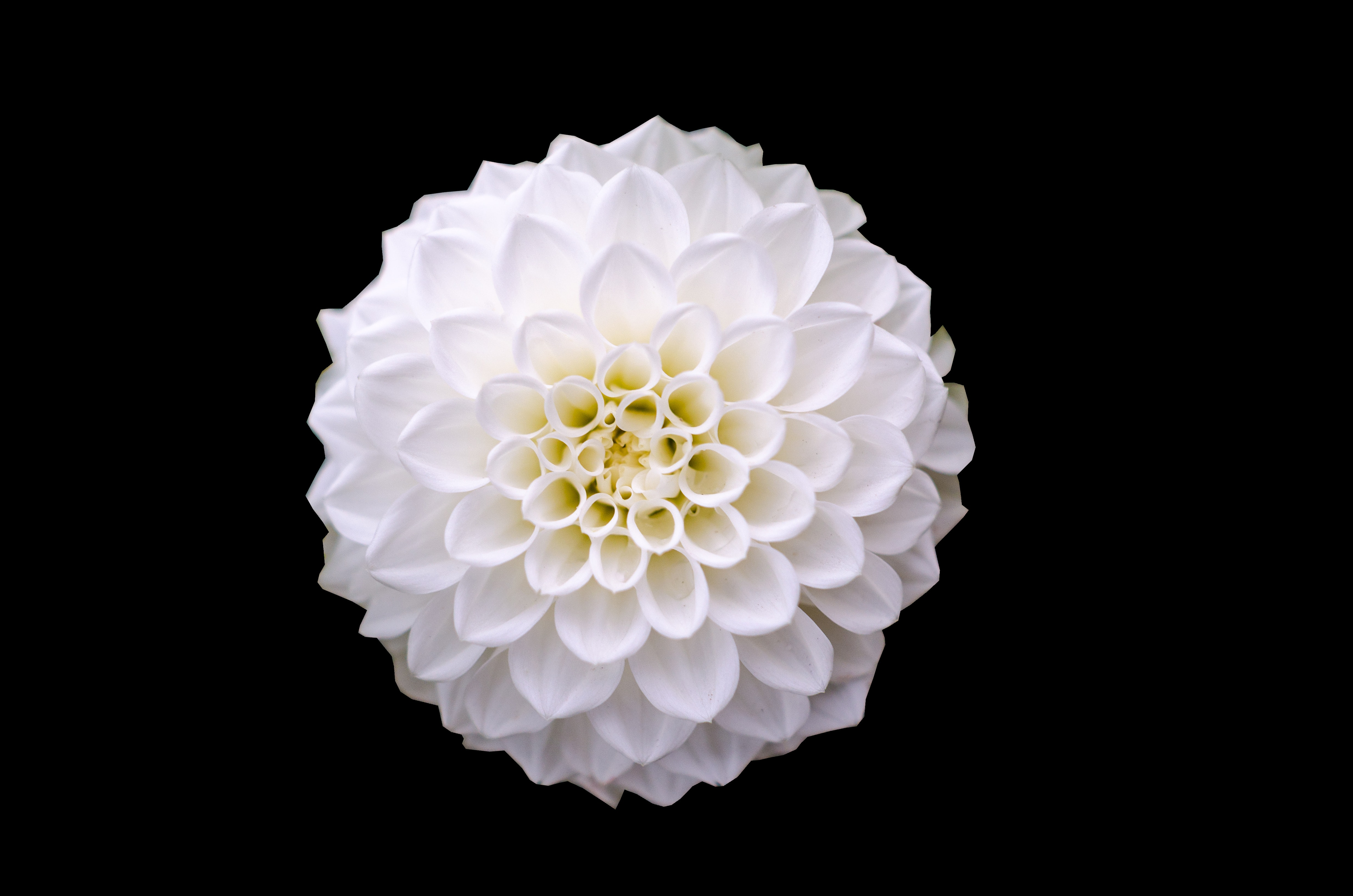 Macro shot of white flower photo