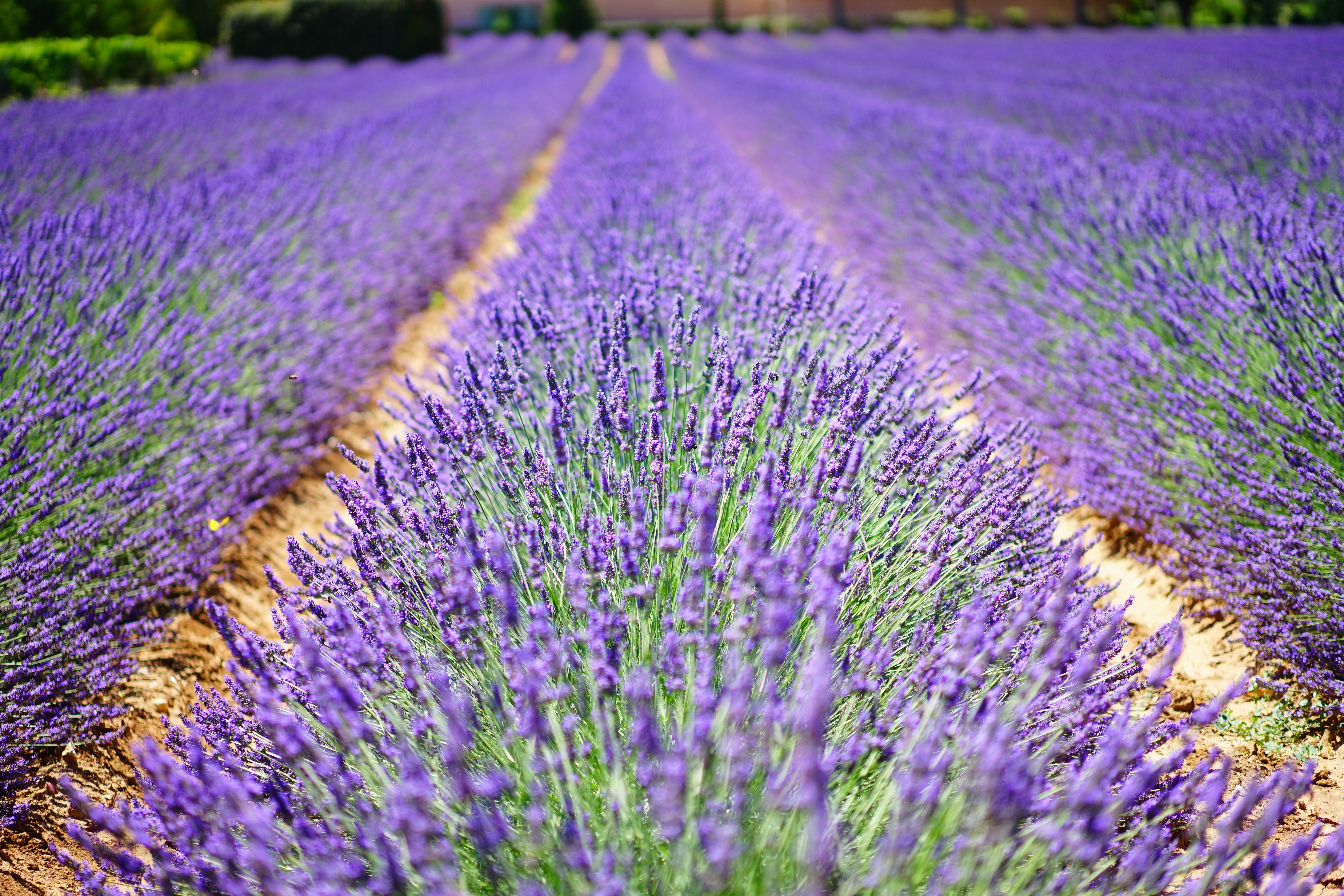 Macro Shot Photography of Purple Plants Under Sunny Sky during Daytime, Aromatic, Flower meadow, Plants, Plant, HQ Photo