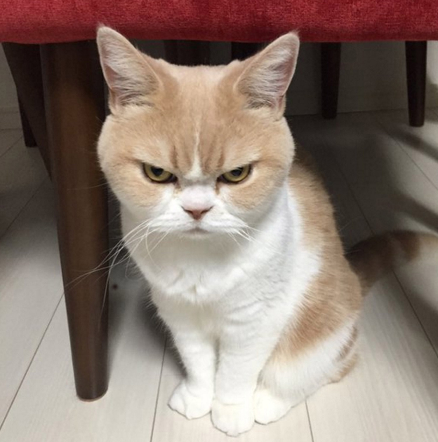 Is this the angriest cat in the world? You'd be mad to mess with ...