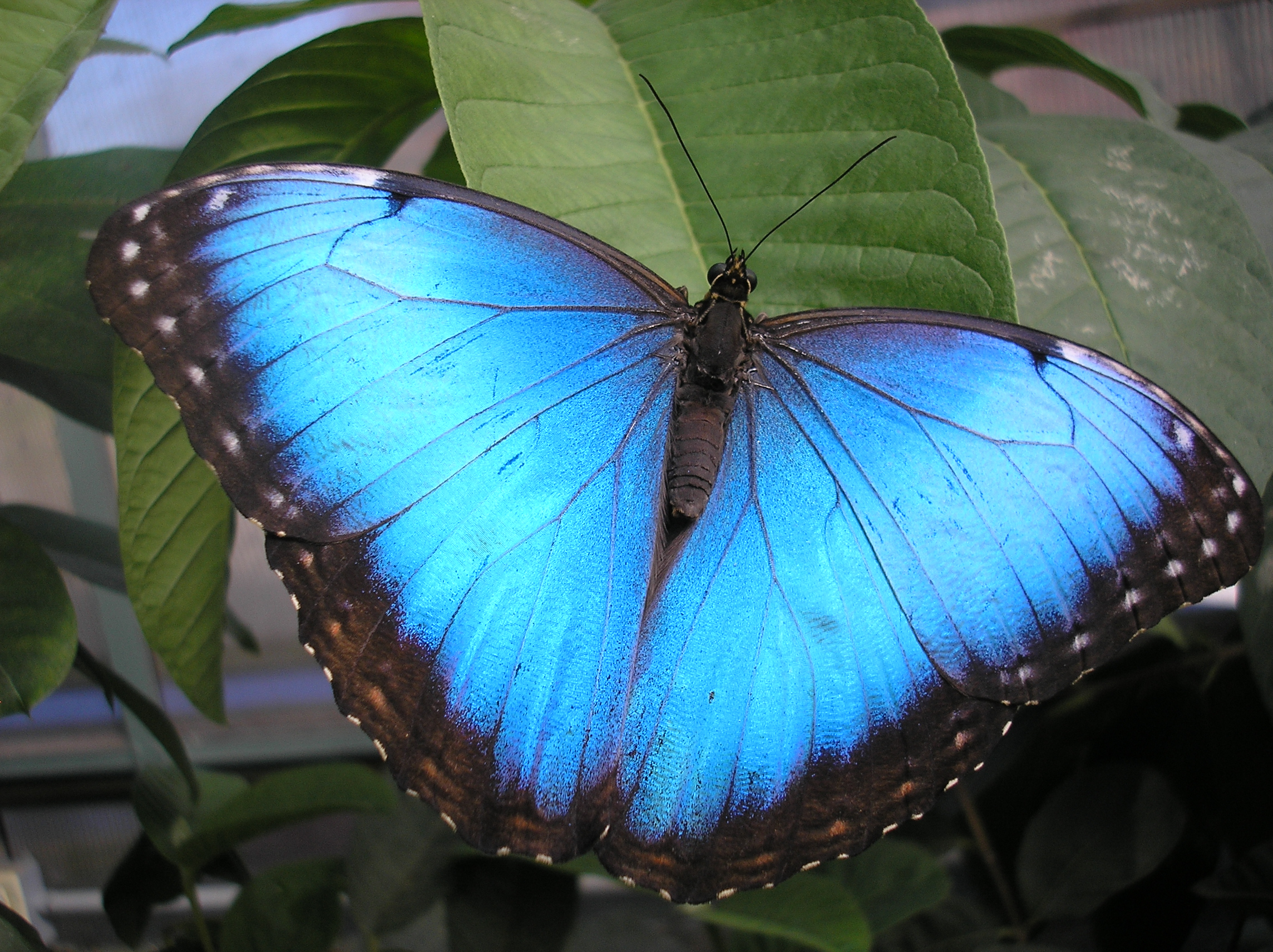 Magic Wings, Blue, Bspo06, Butterflies, Flowers, HQ Photo