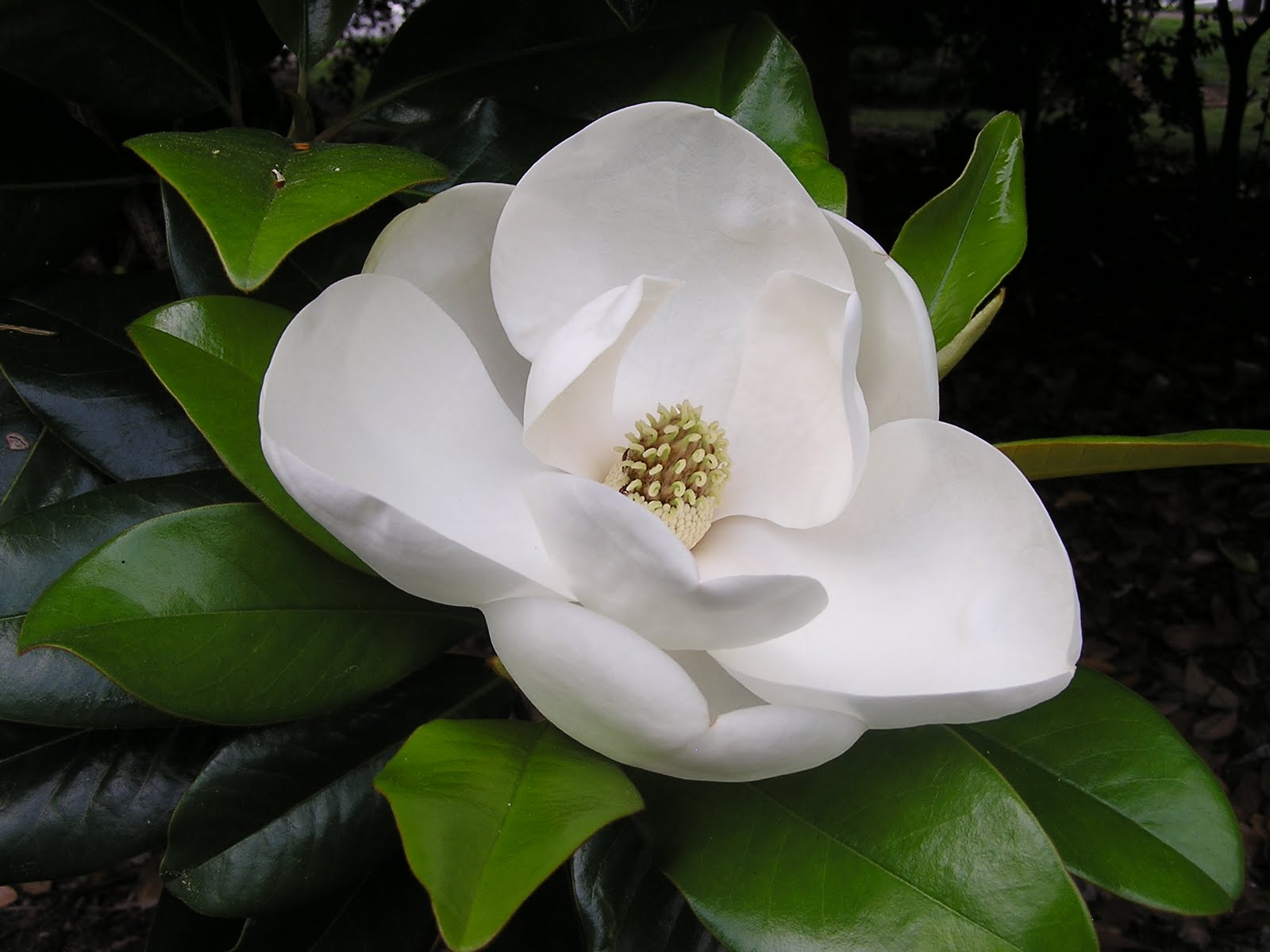 Magnolia Flower symbolism and astrological meanings in the zodiac ...