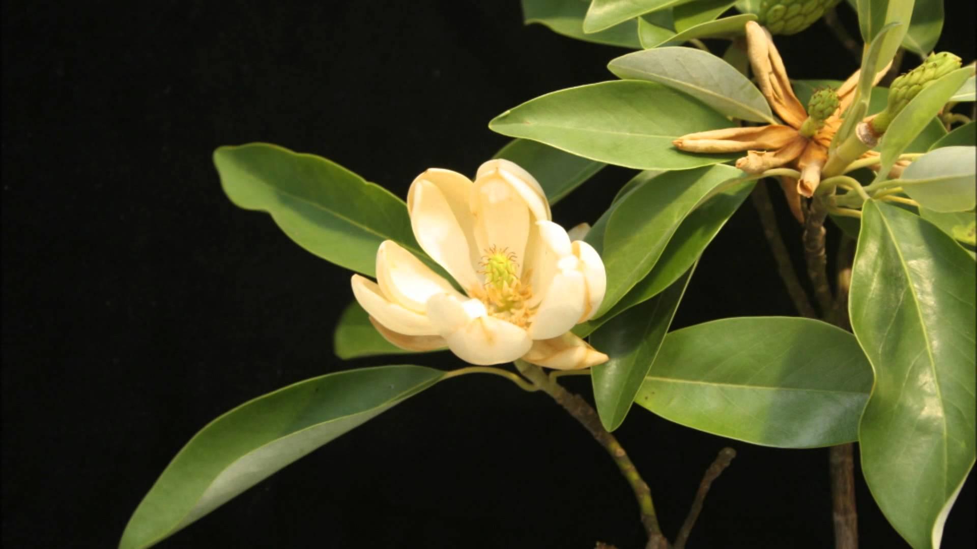 Magnolia flower - YouTube