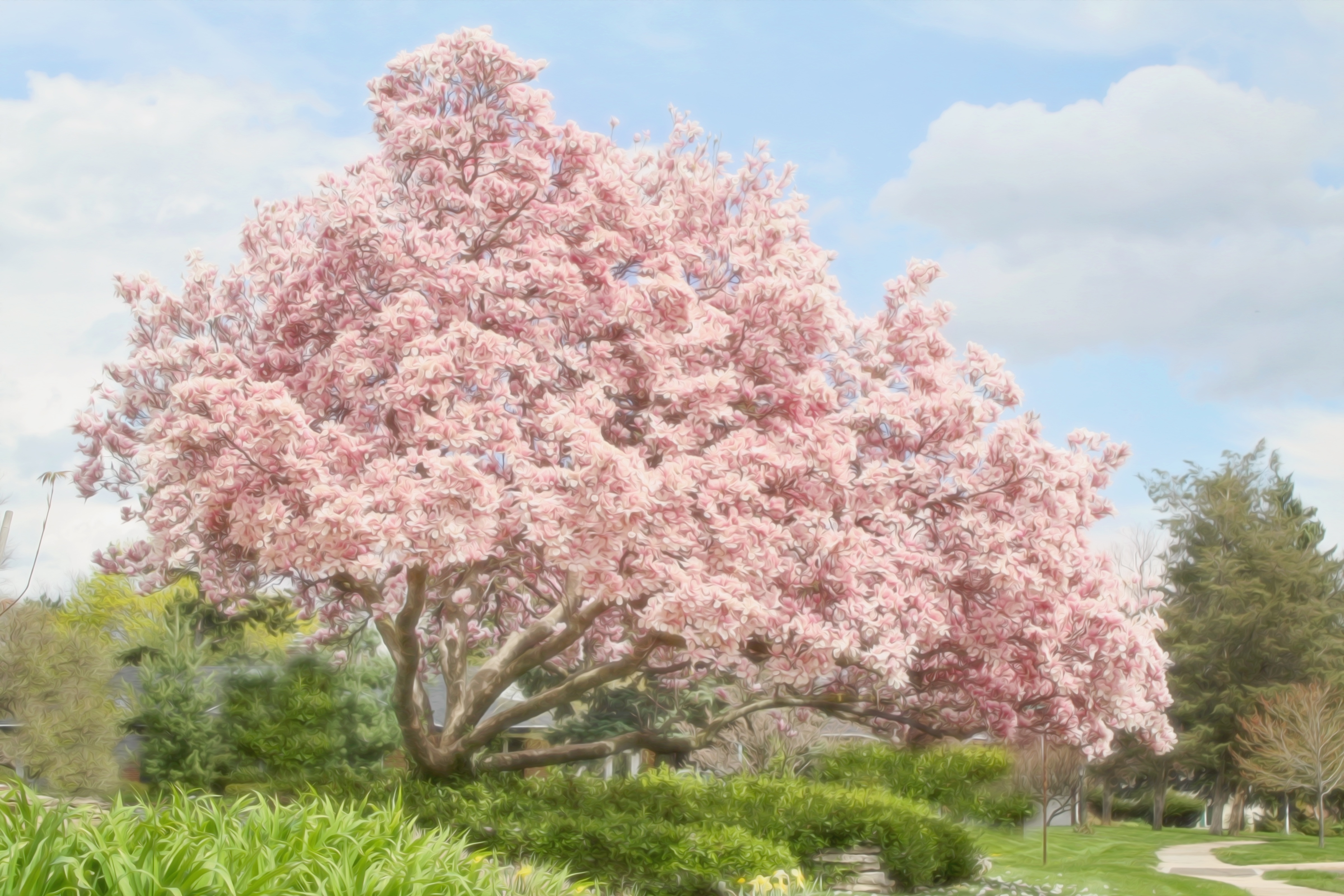 Free Photo Magnolia Tree Nature Magnolia Painting Free