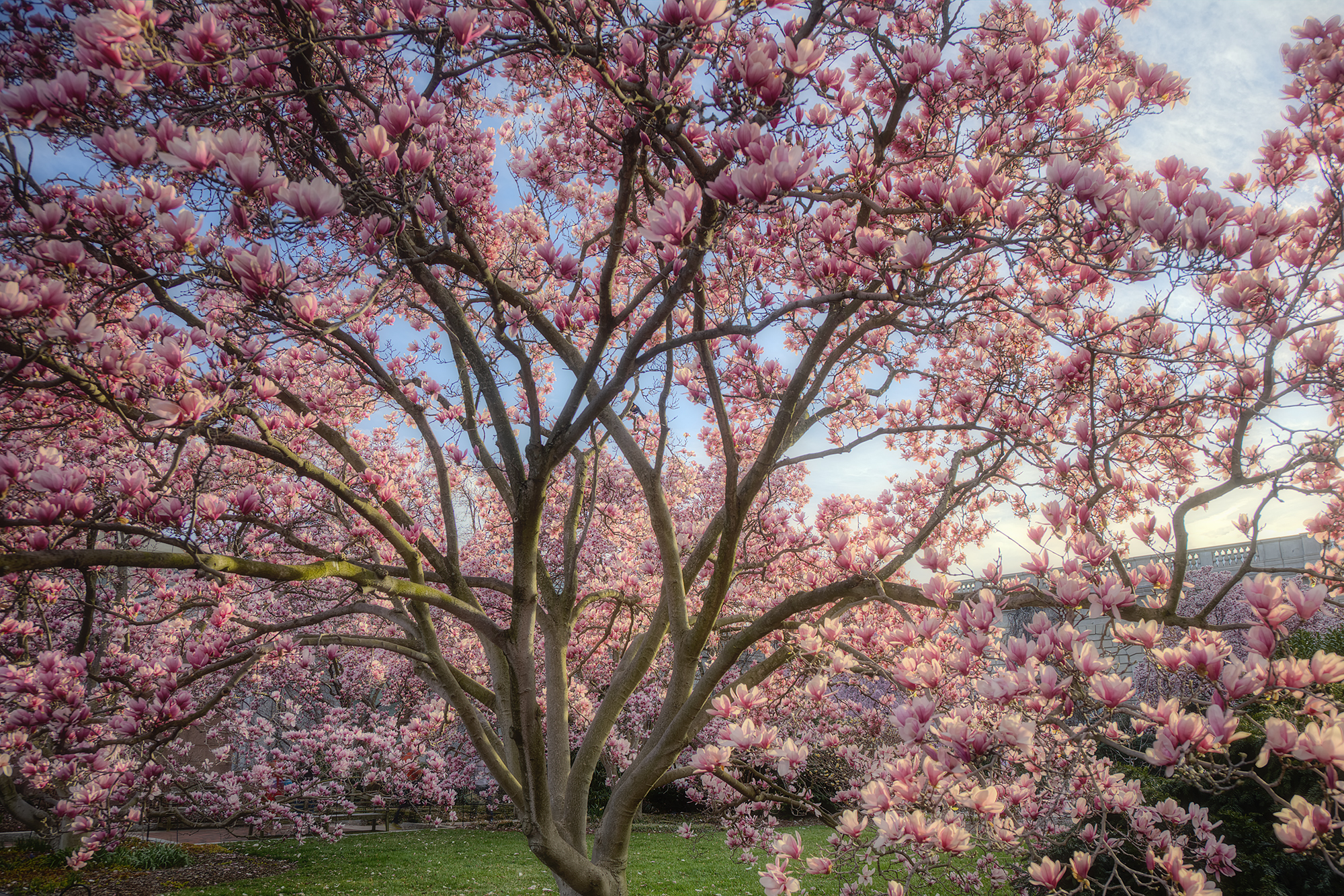 Free Photo Magnolia Trees Blooming Flower Fragrance Free Download Jooinn