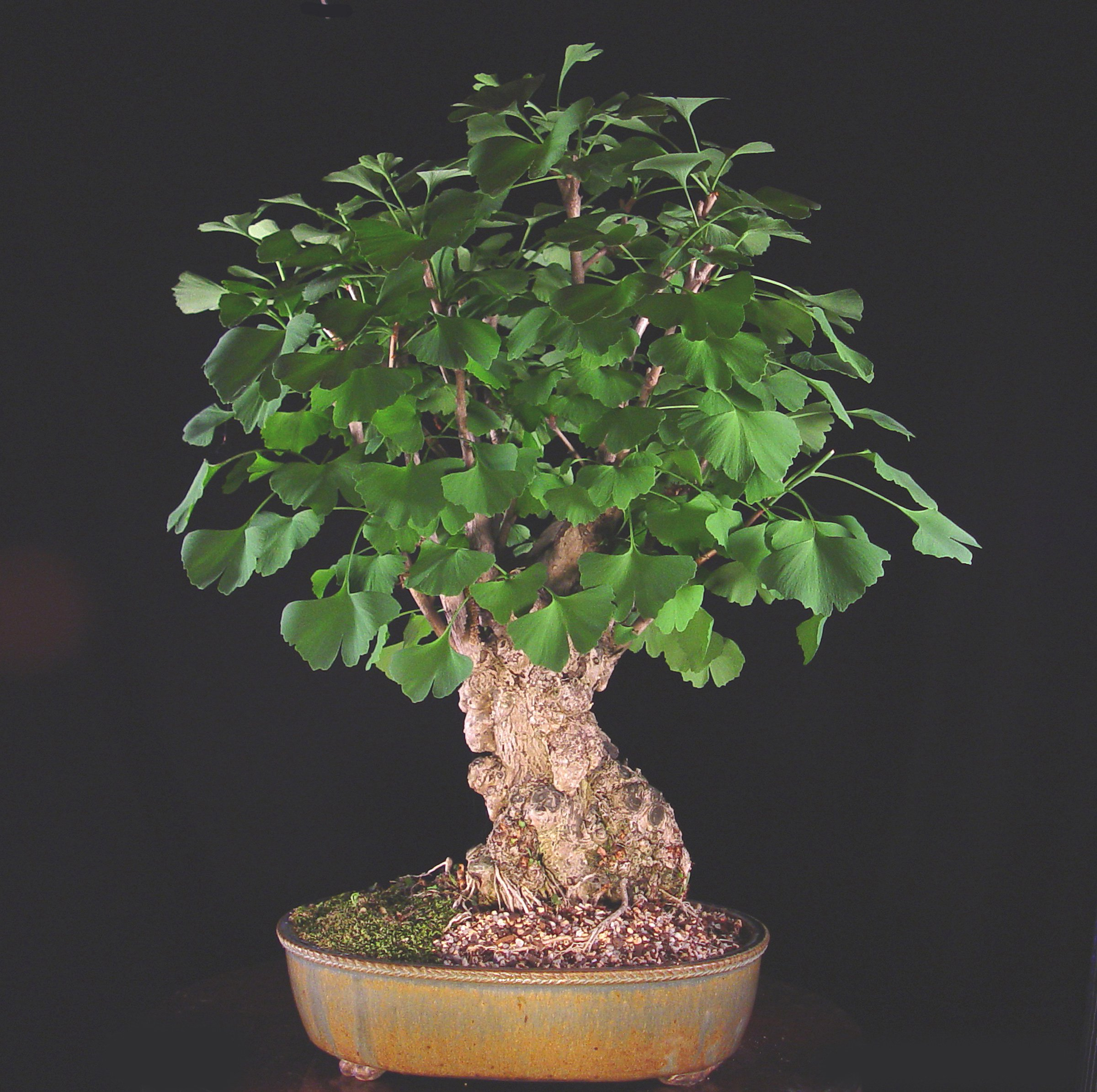 Maidenhair tree bonsai photo