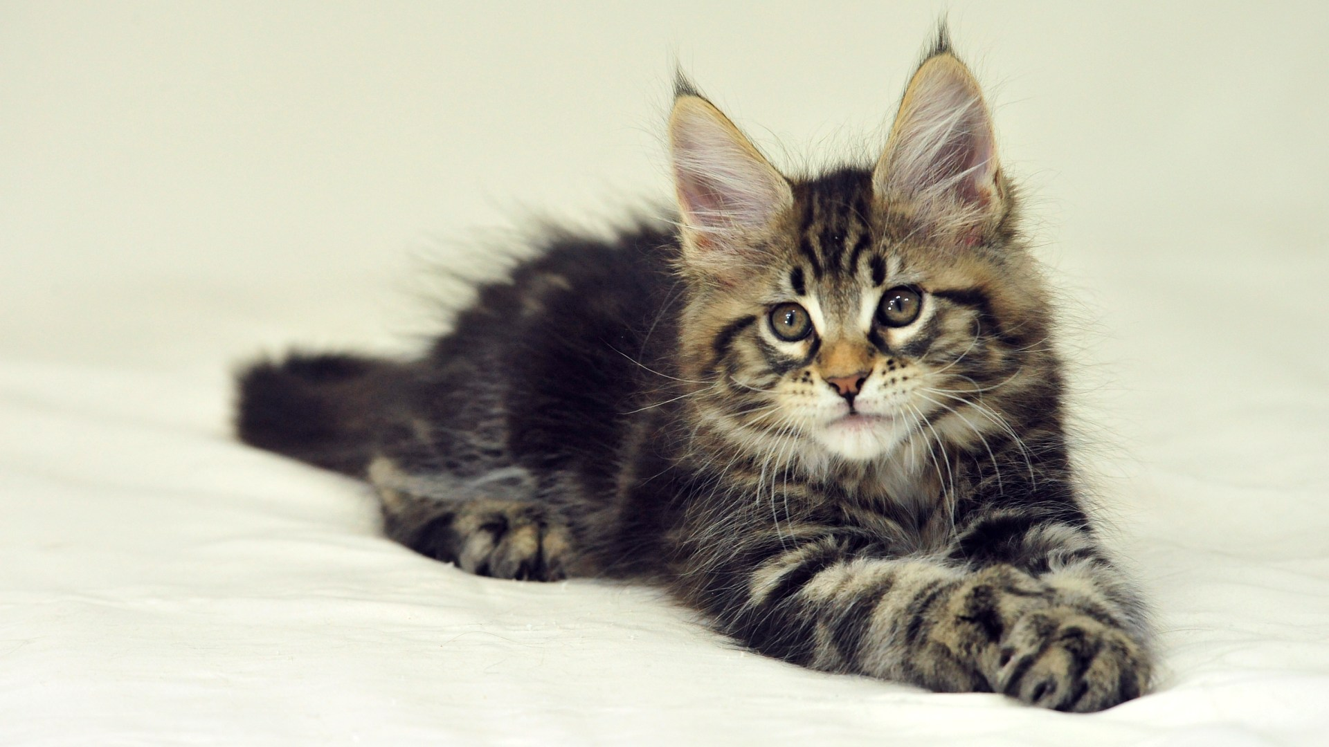 Maine Coon HD Wallpaper, Background Images