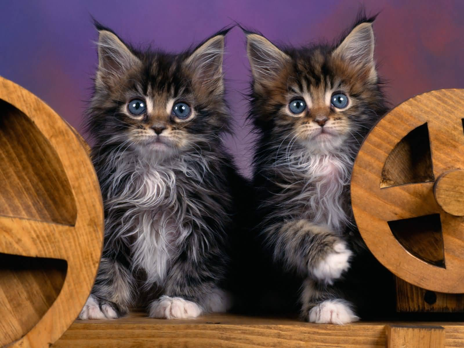 Two Lovely Maine Coon Cat Baby - Golfian.com