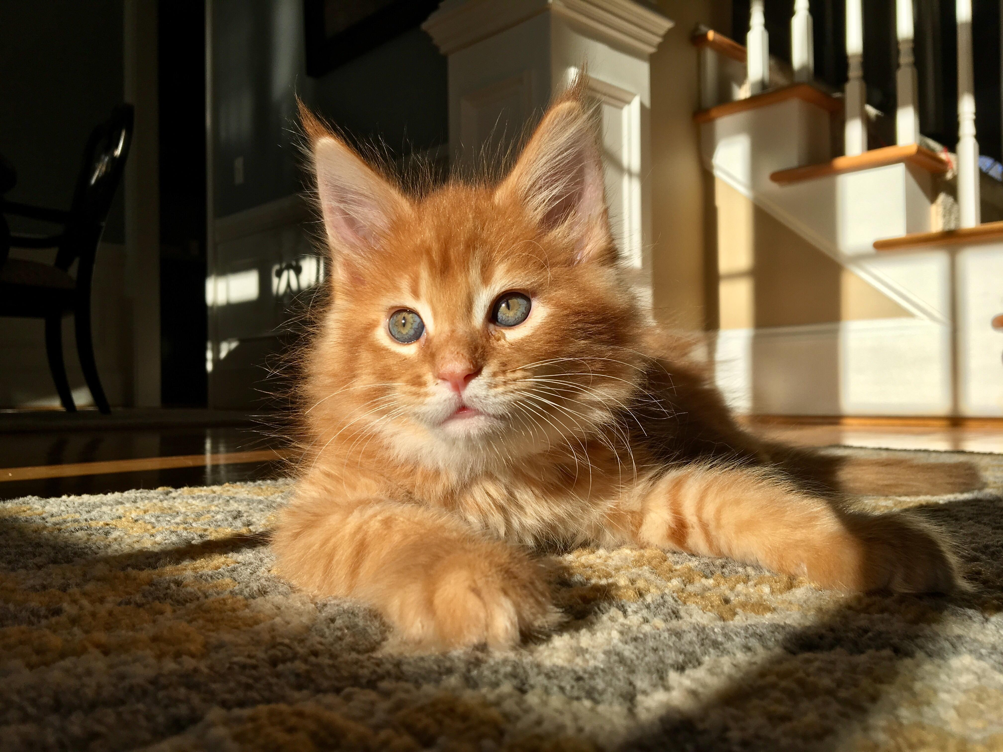 Reddit - meet Emmett, our new baby Maine Coon! : mainecoons