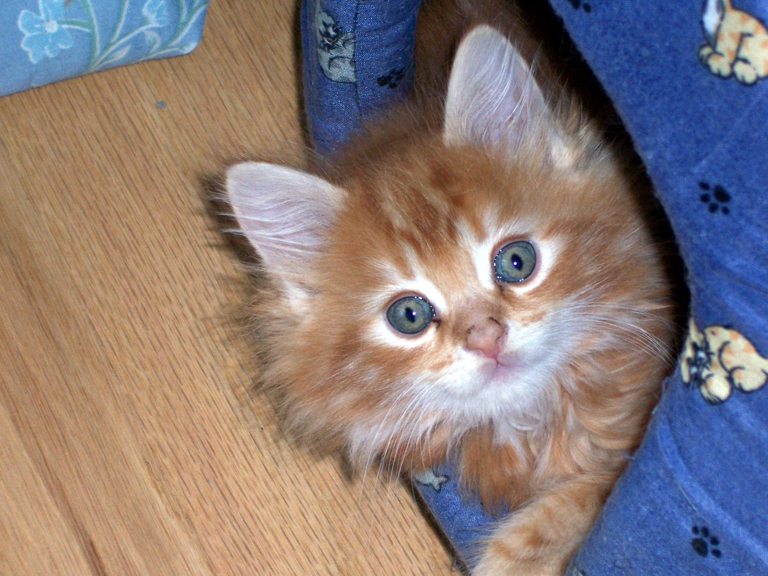 MAINE COON BABY, Bigeyes, Bspo06, Cat, Cute, HQ Photo