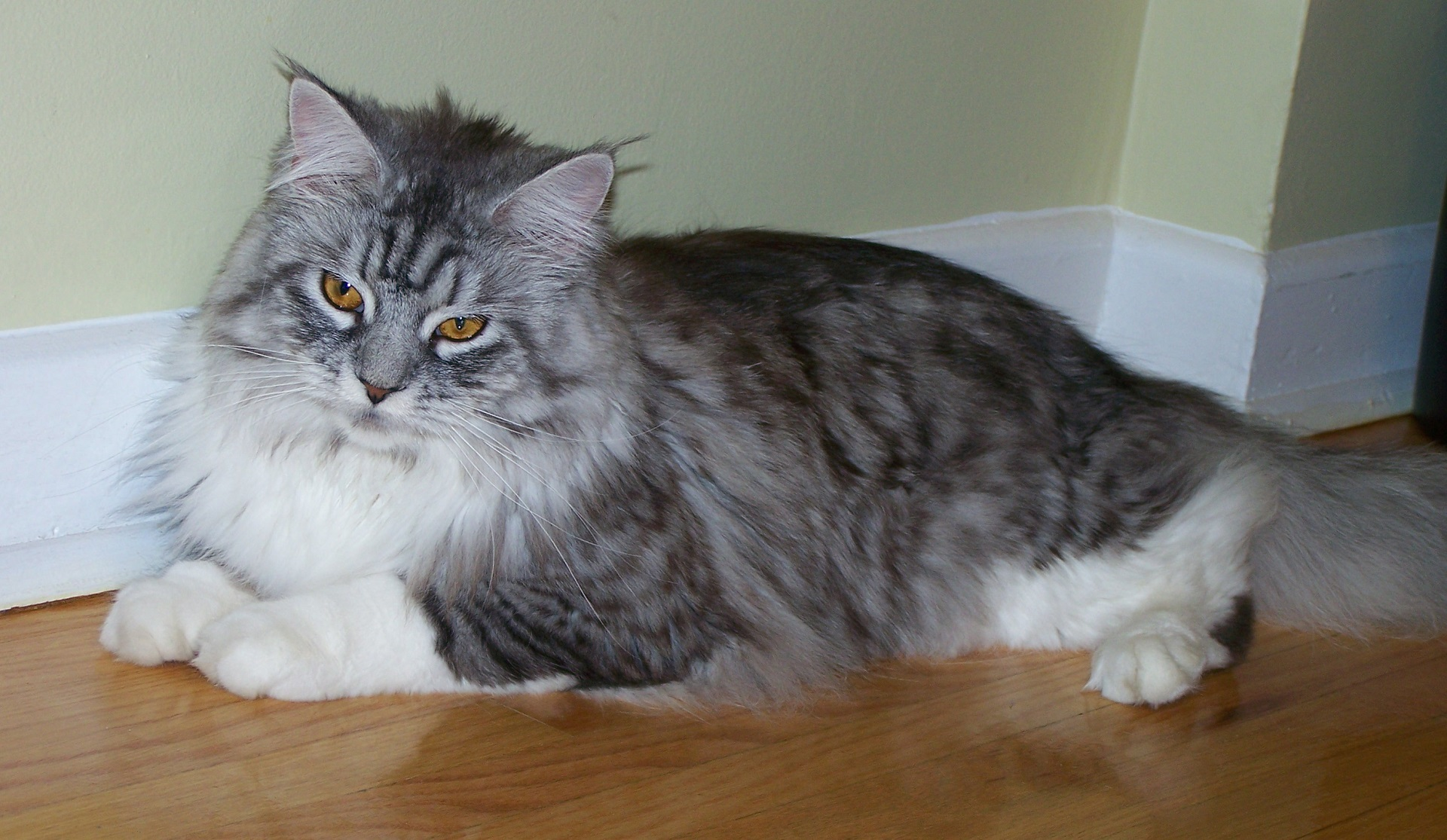 Maine coon cat photo