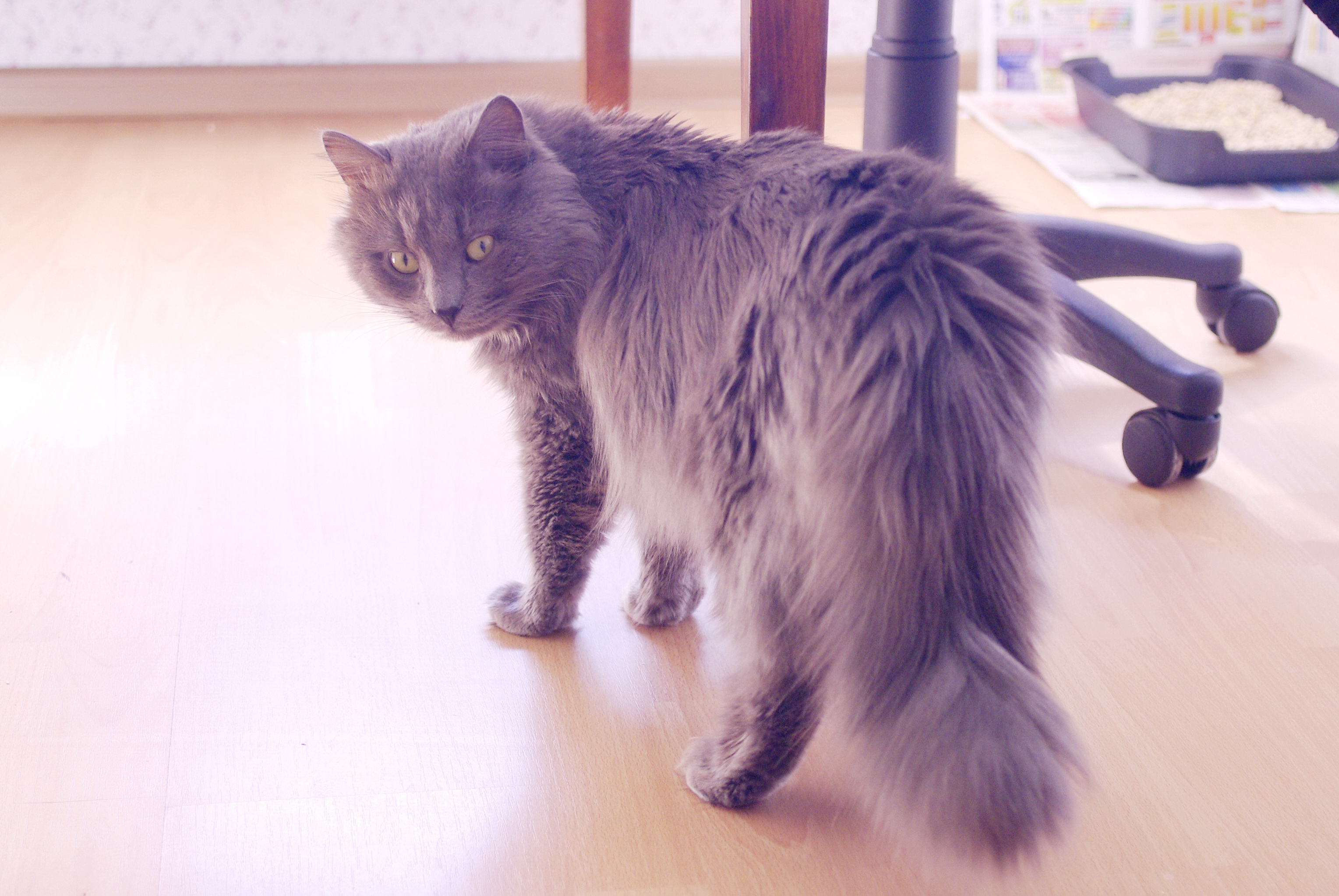 Maine coon cat on the floor photo