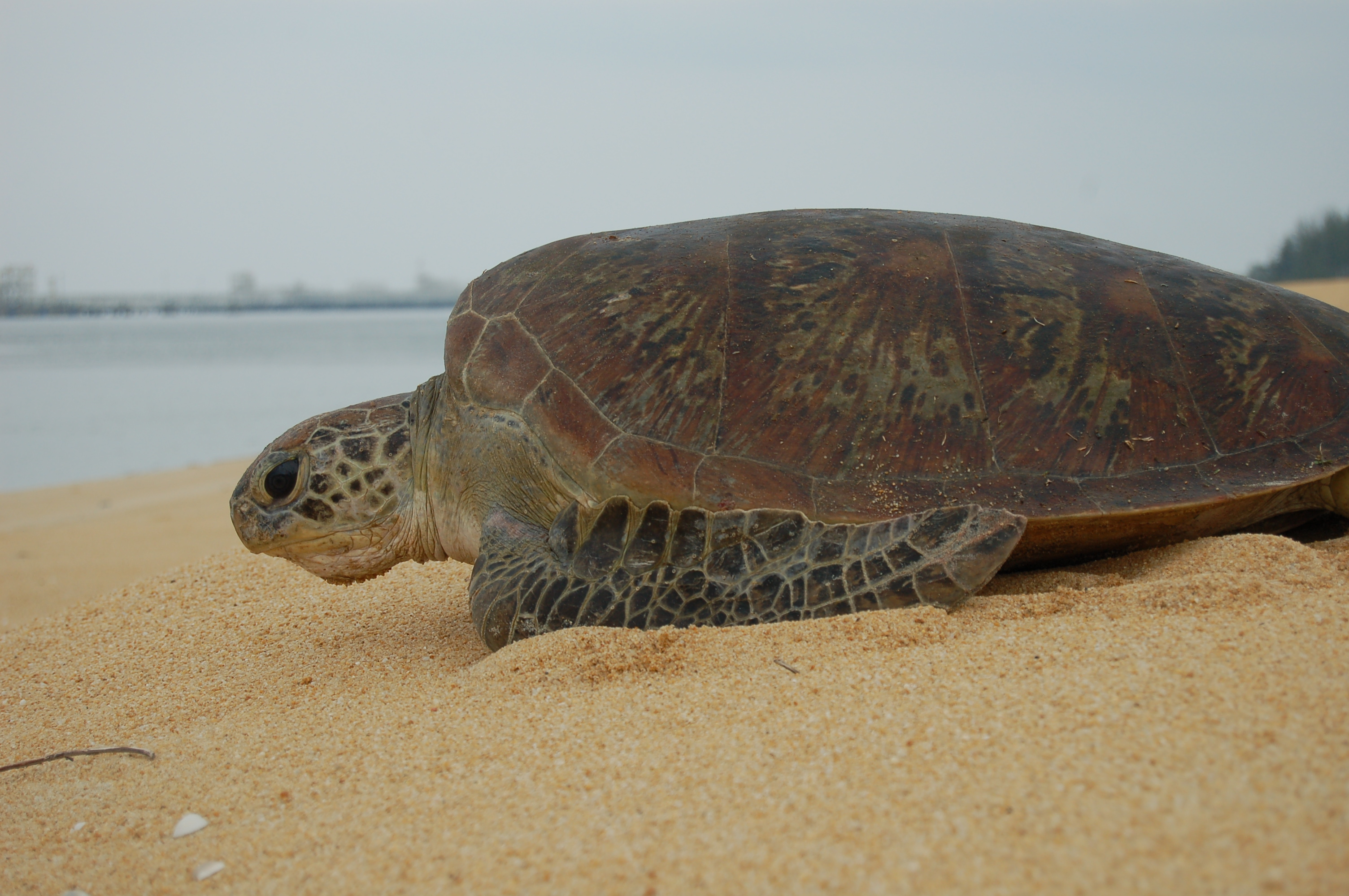 Malaysian turtle photo